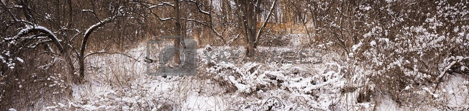 Winter panoramic landscape of trees and plants in forest with snow