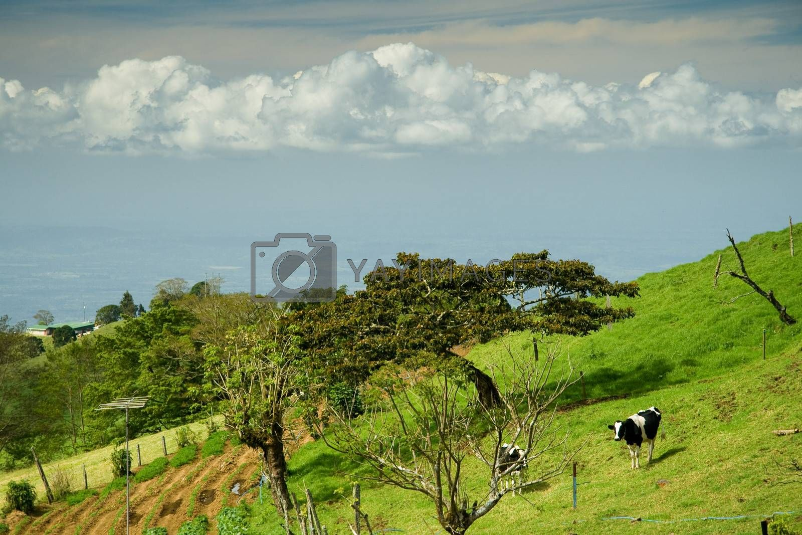 Cows grazing on green countryside field, Costa Rica.