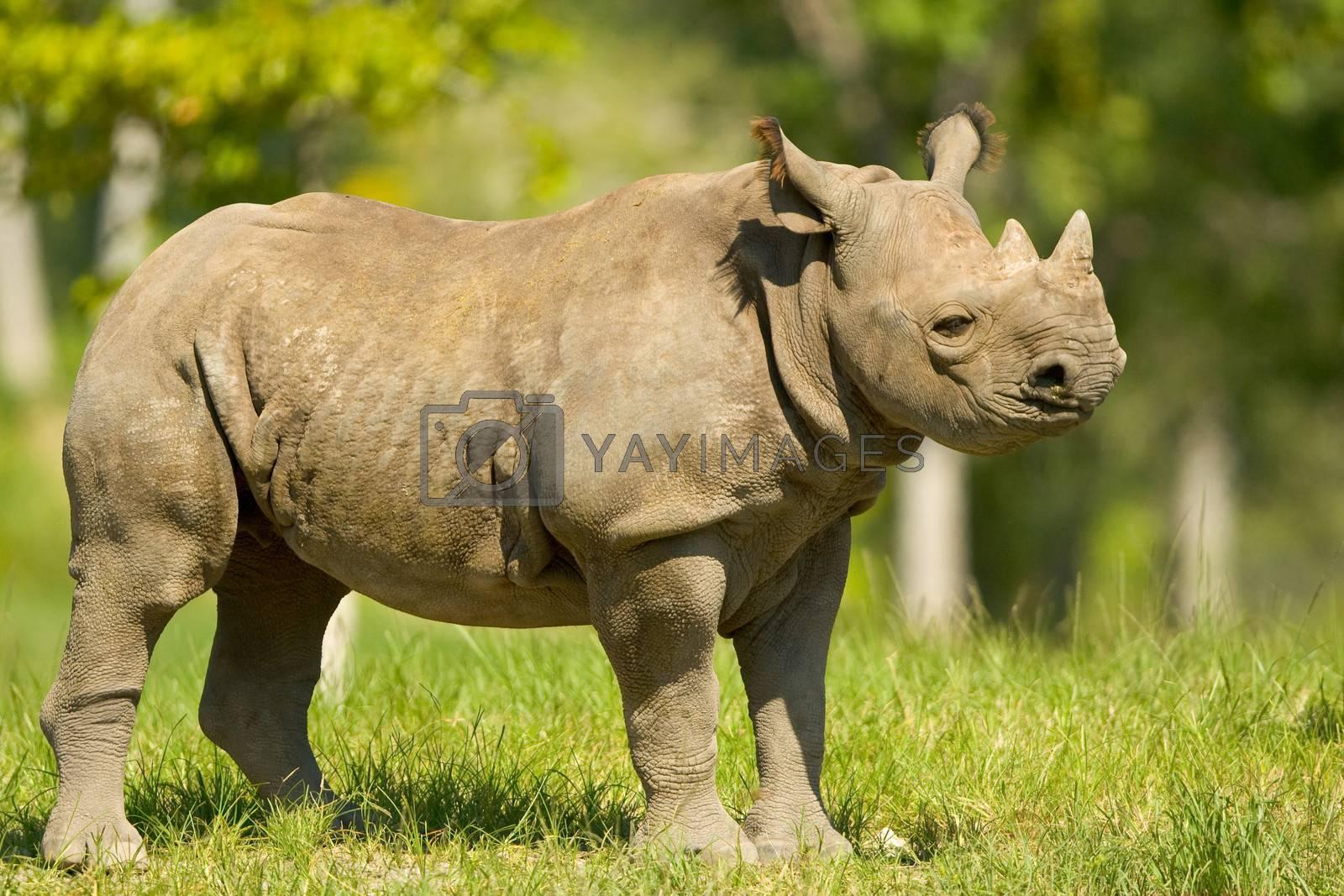 Rhinoceros standing on grass