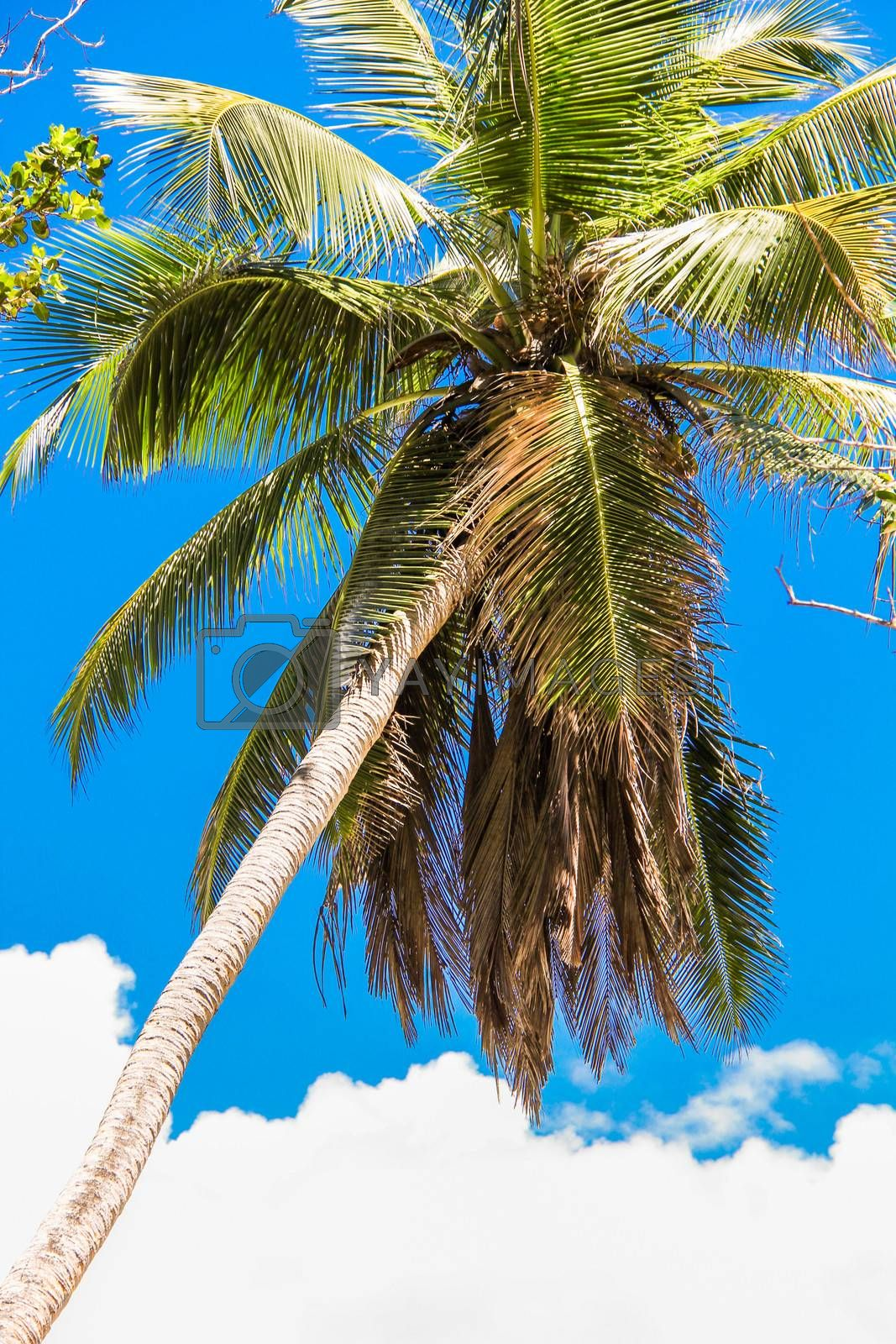 Tropical coconut palm tree in Seyshelles background the sky