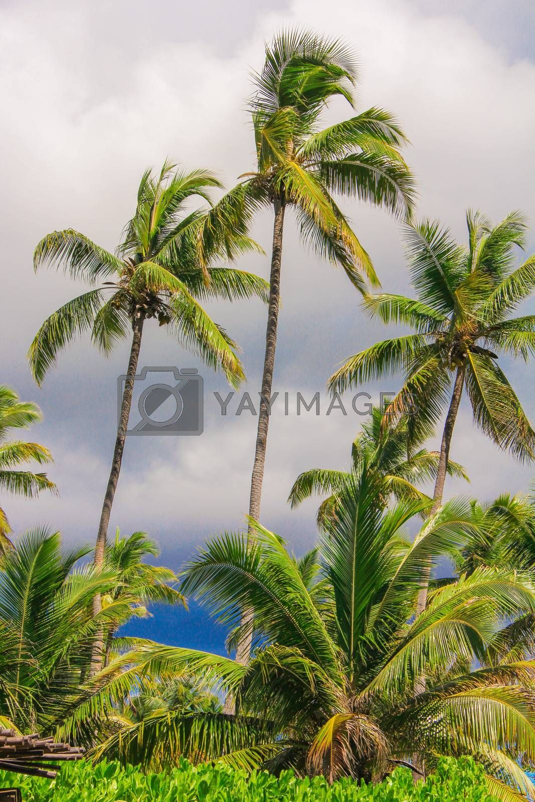 Palm tree on the sandy beach in Seyshelles