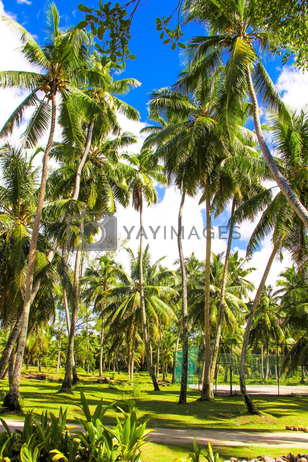 Coconut Palm trees on the sandy beach in Seyshelles