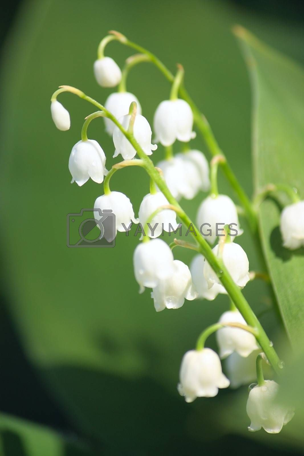 Lily of the valley closup photo
