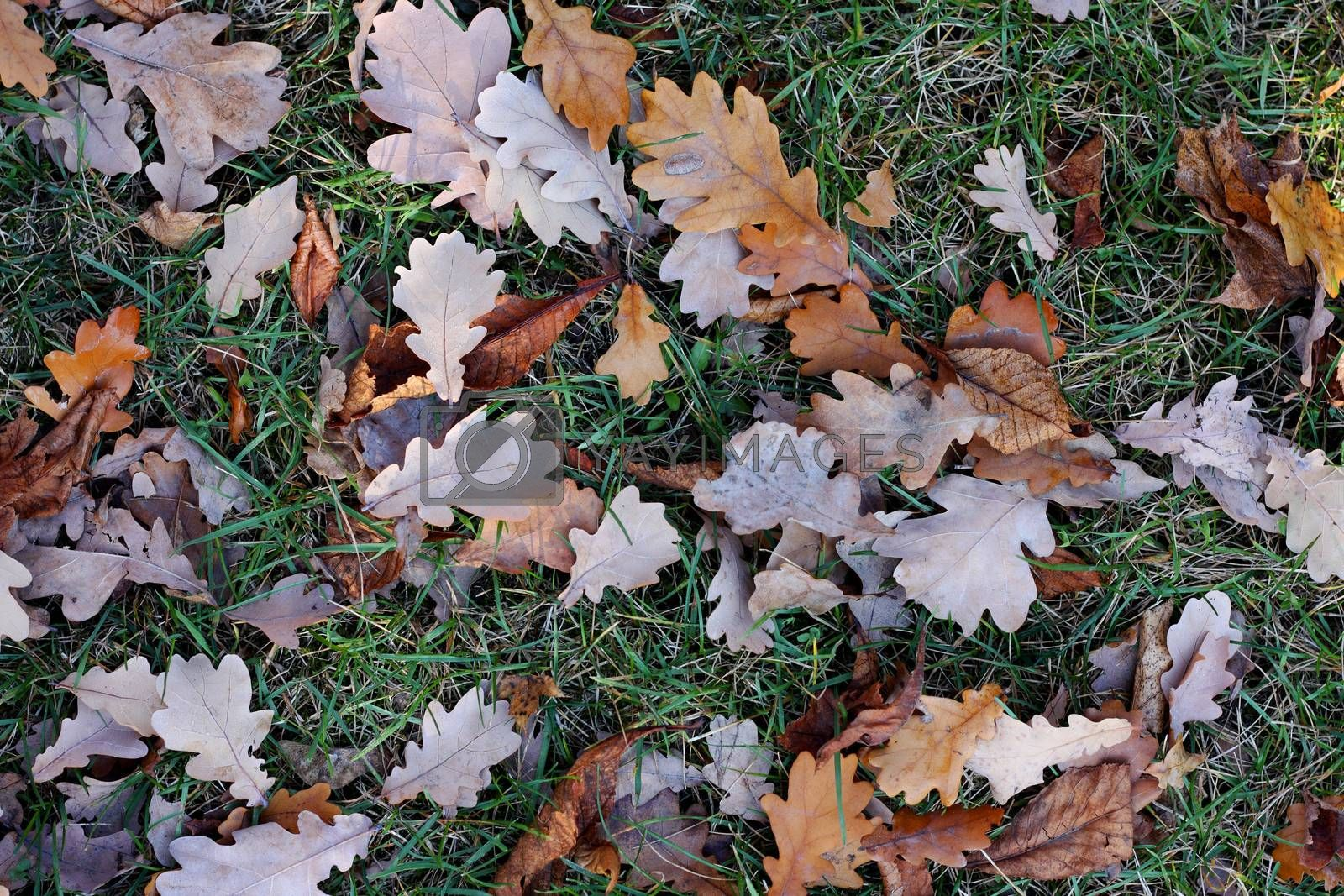 Yellow oak's leafs on a green grass