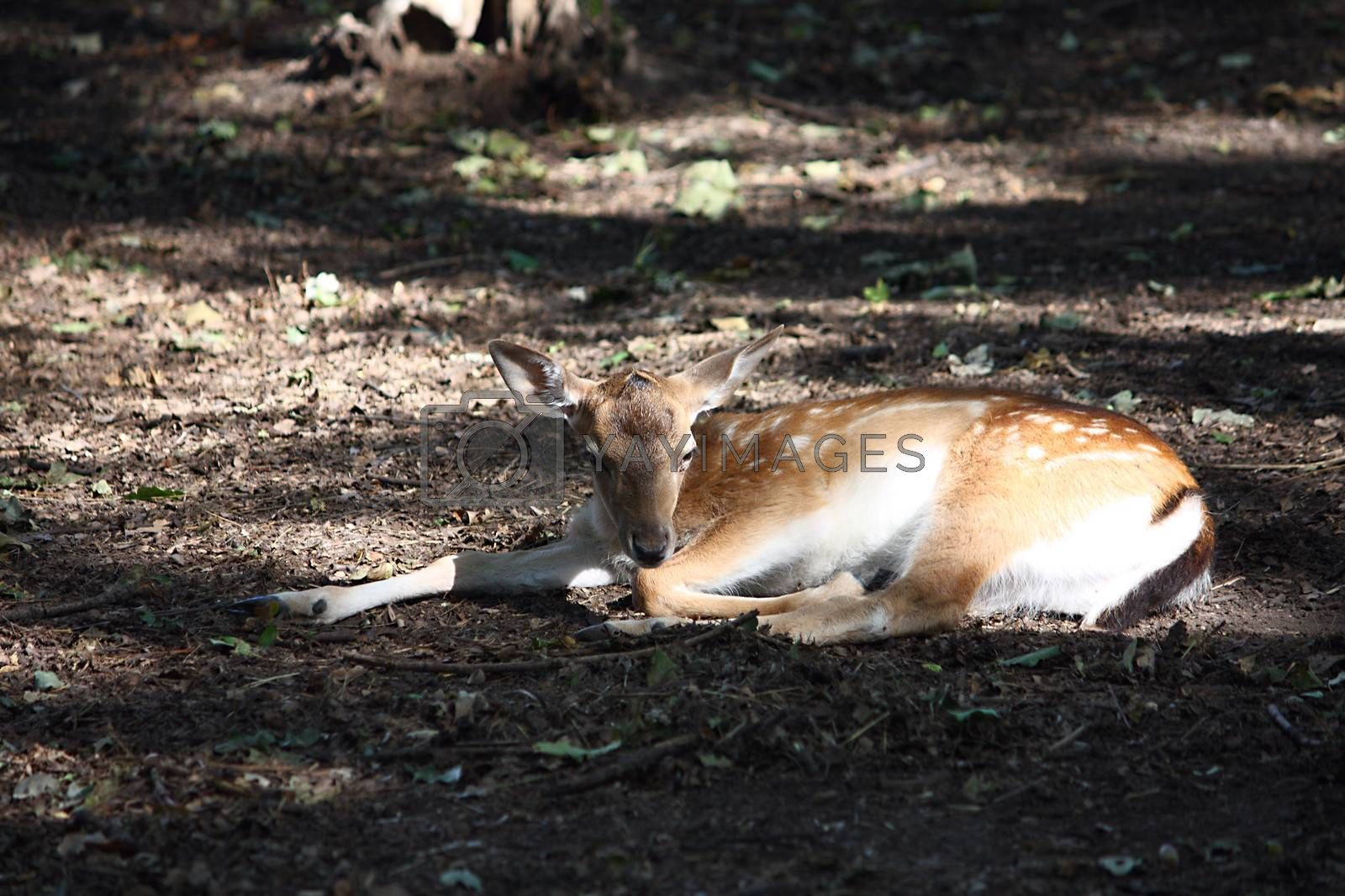 Little deer lying in the forest