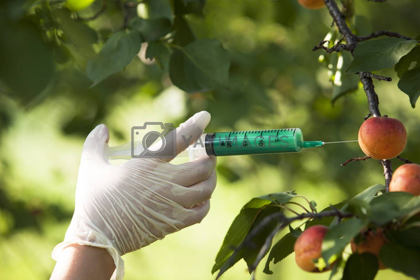 Royalty free image of GMO fruit by wellphoto