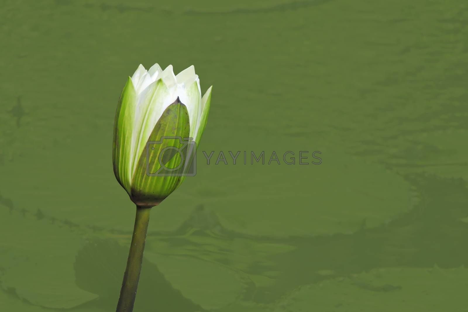 Purple or white water lily flower closeup