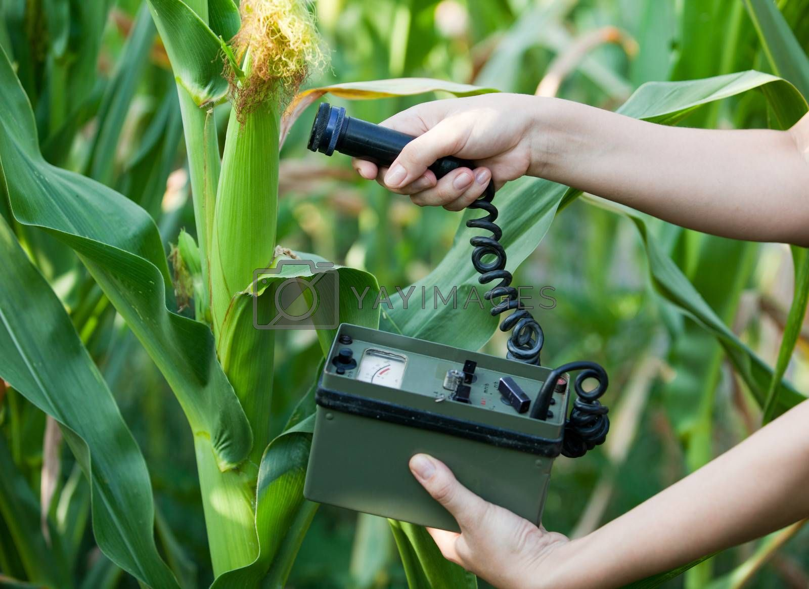 Measuring radiation levels of maize