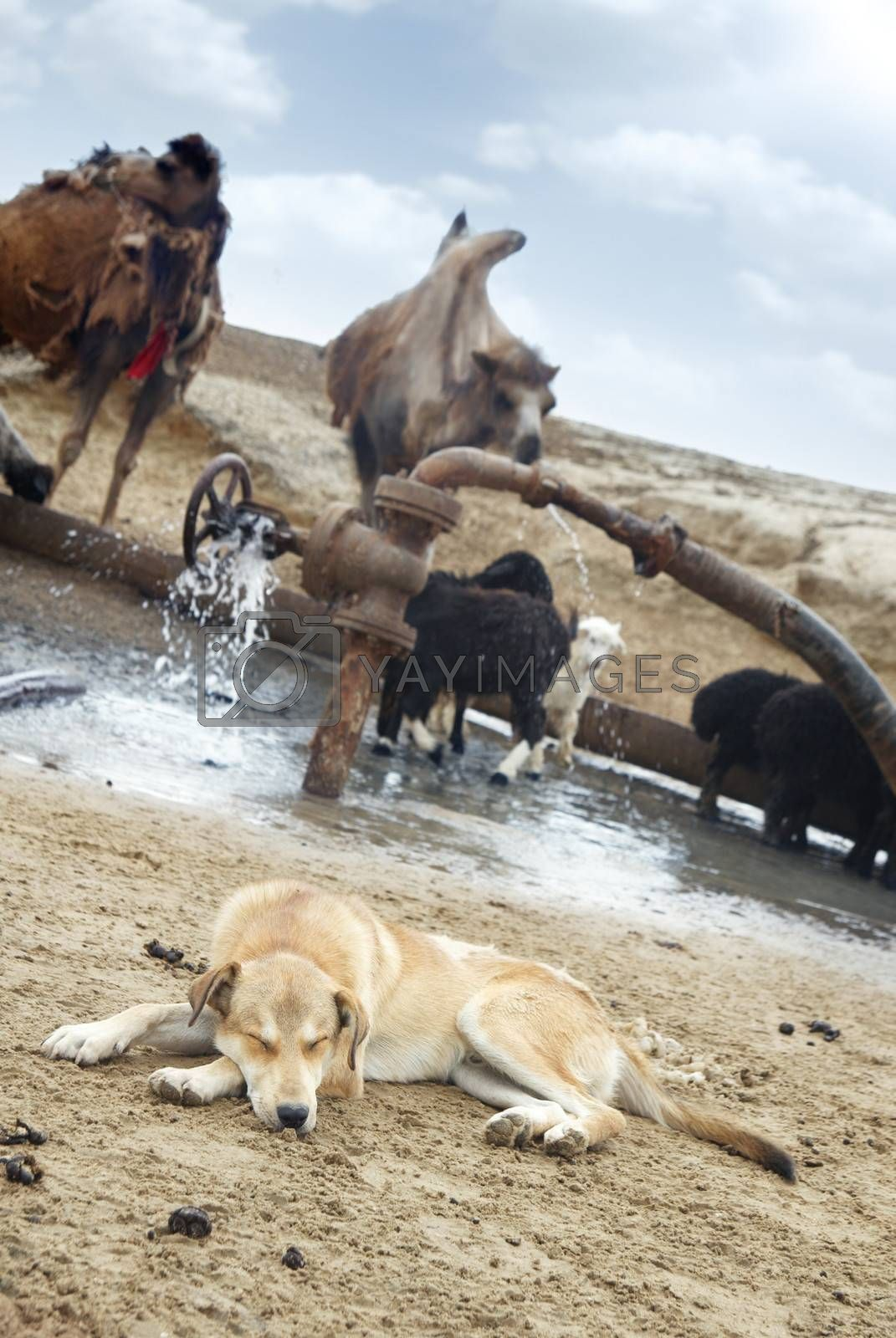 Sleeping shepherd dog and cattle at the watering place