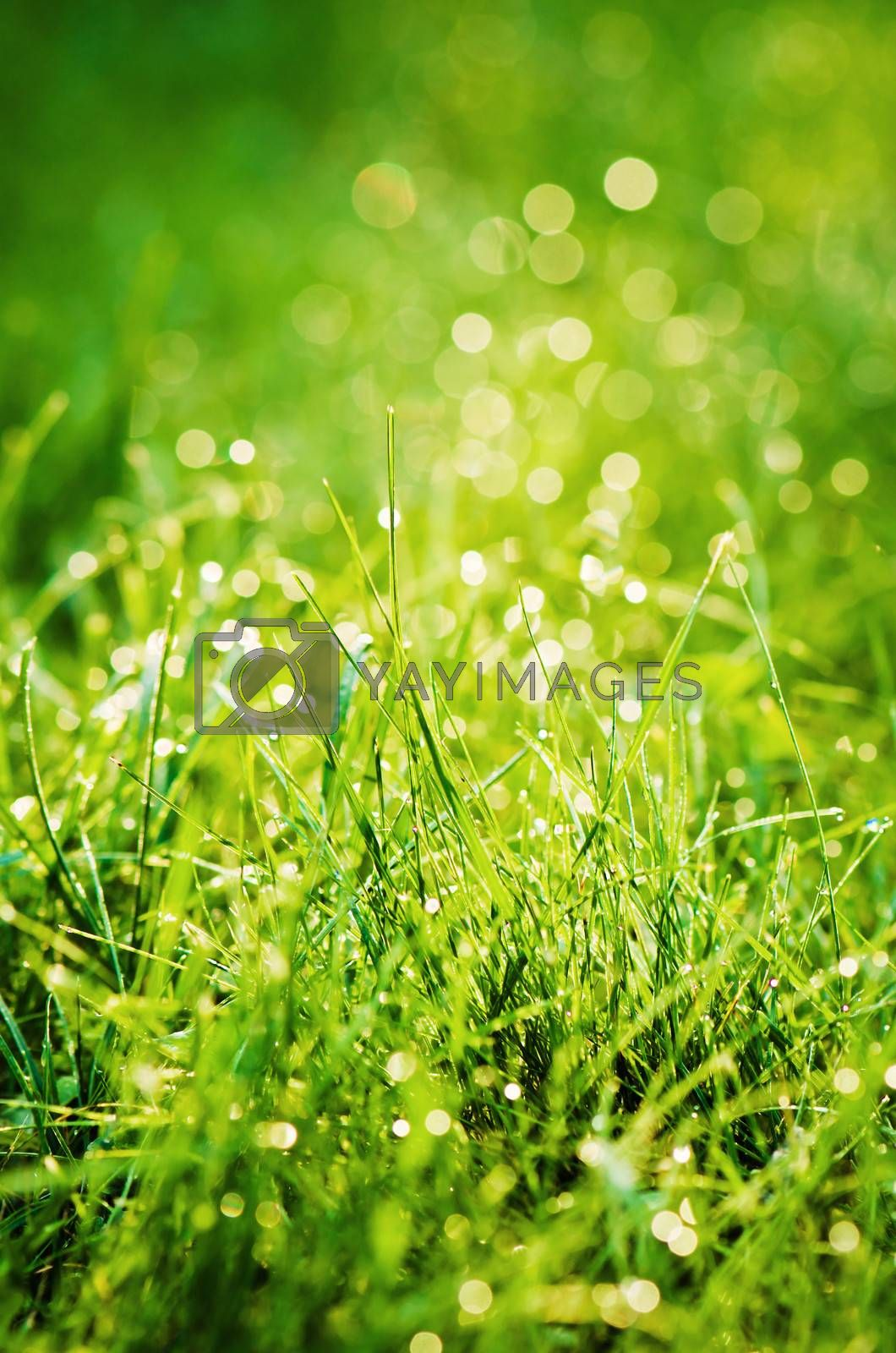 Drops of dew on the grass, lighted a morning light