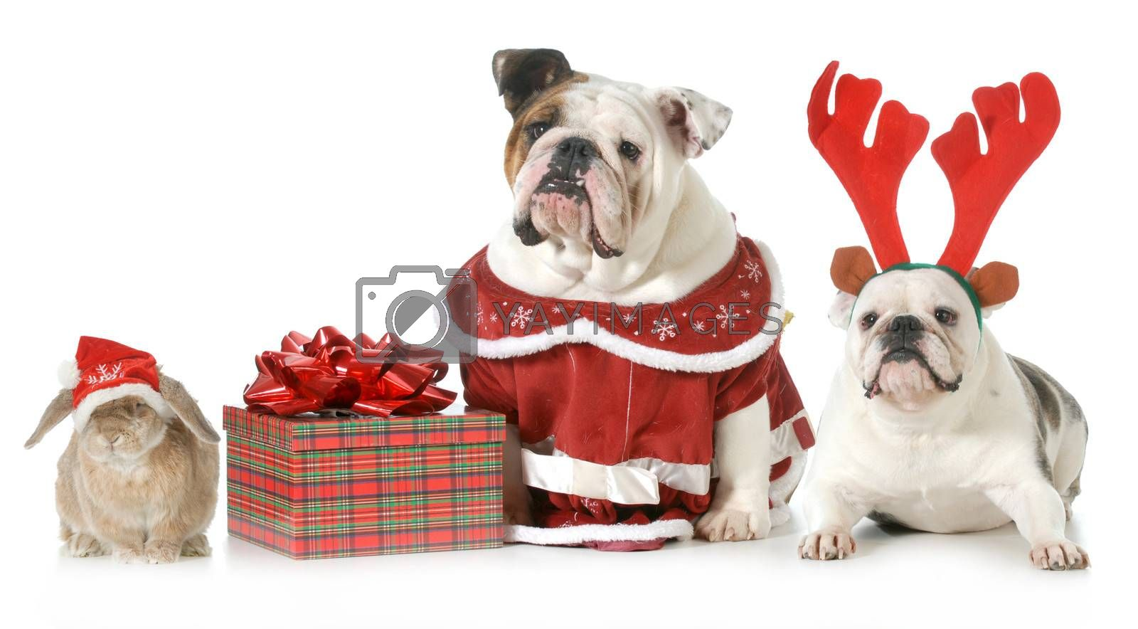 christmas pets - three pets dressed up for christmas isolated on white background