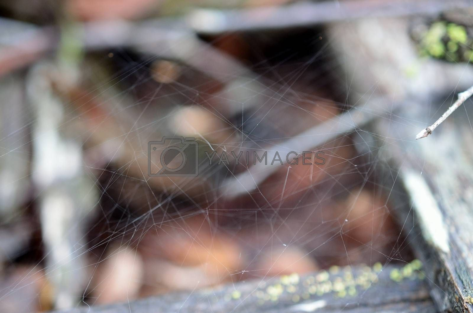 Royalty free image of Beautiful and strong spiderweb in the nature by Finephotoworks