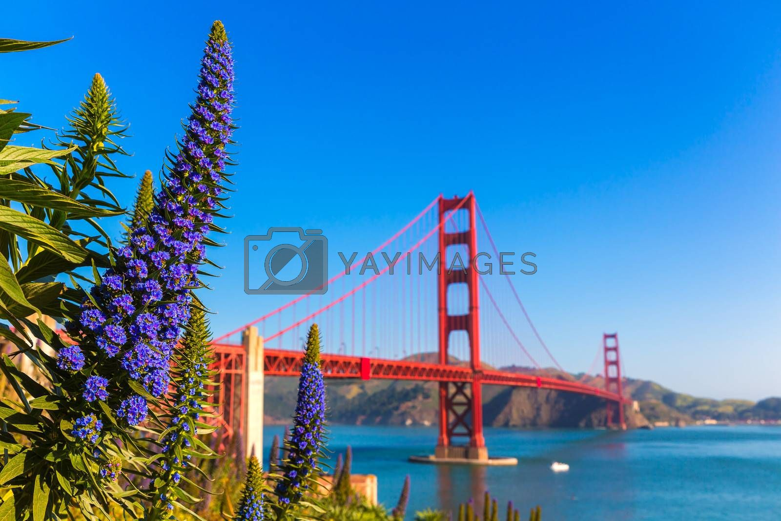 Royalty free image of Golden Gate Bridge San Francisco purple flowers California by lunamarina