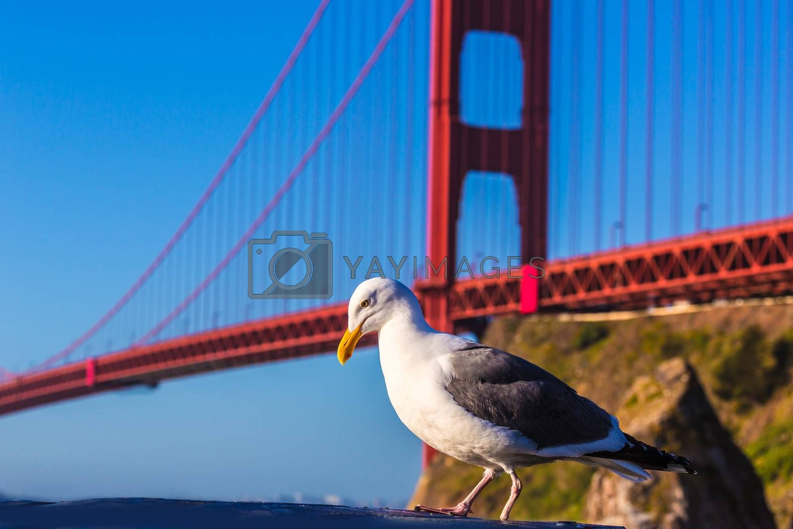 Royalty free image of San Francisco Golden Gate Bridge seagull California by lunamarina
