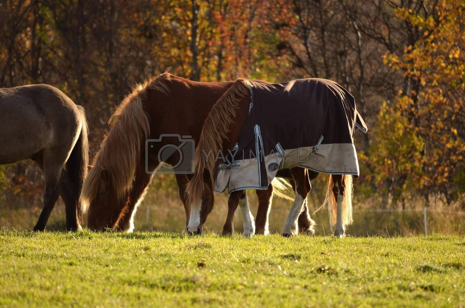 Beautiful horses grazing