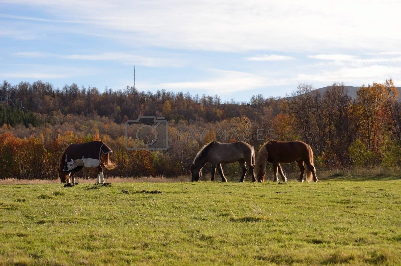 Beautiful horses on a field in Norway in the late autumn sun