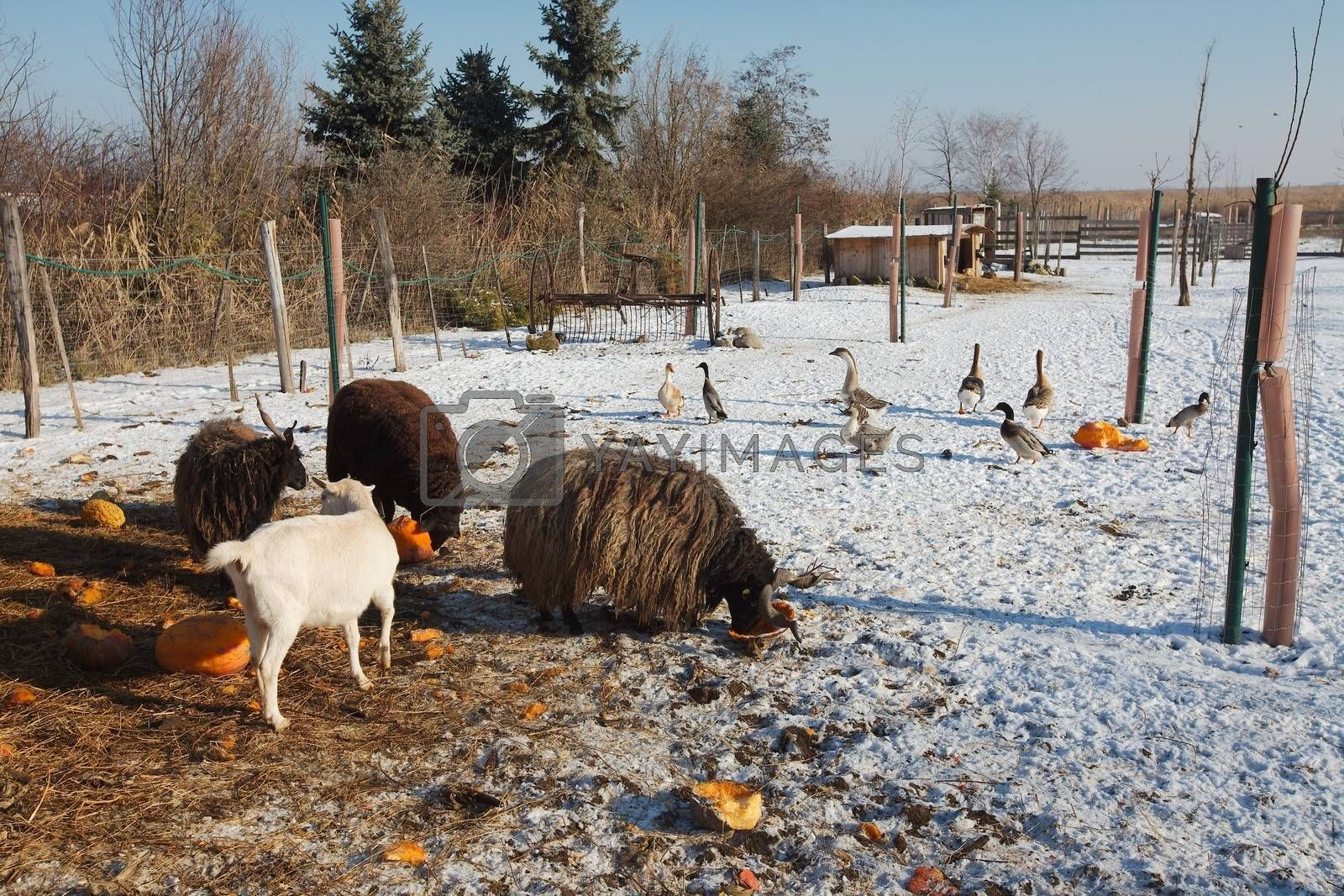 Farm animals eating in the snow