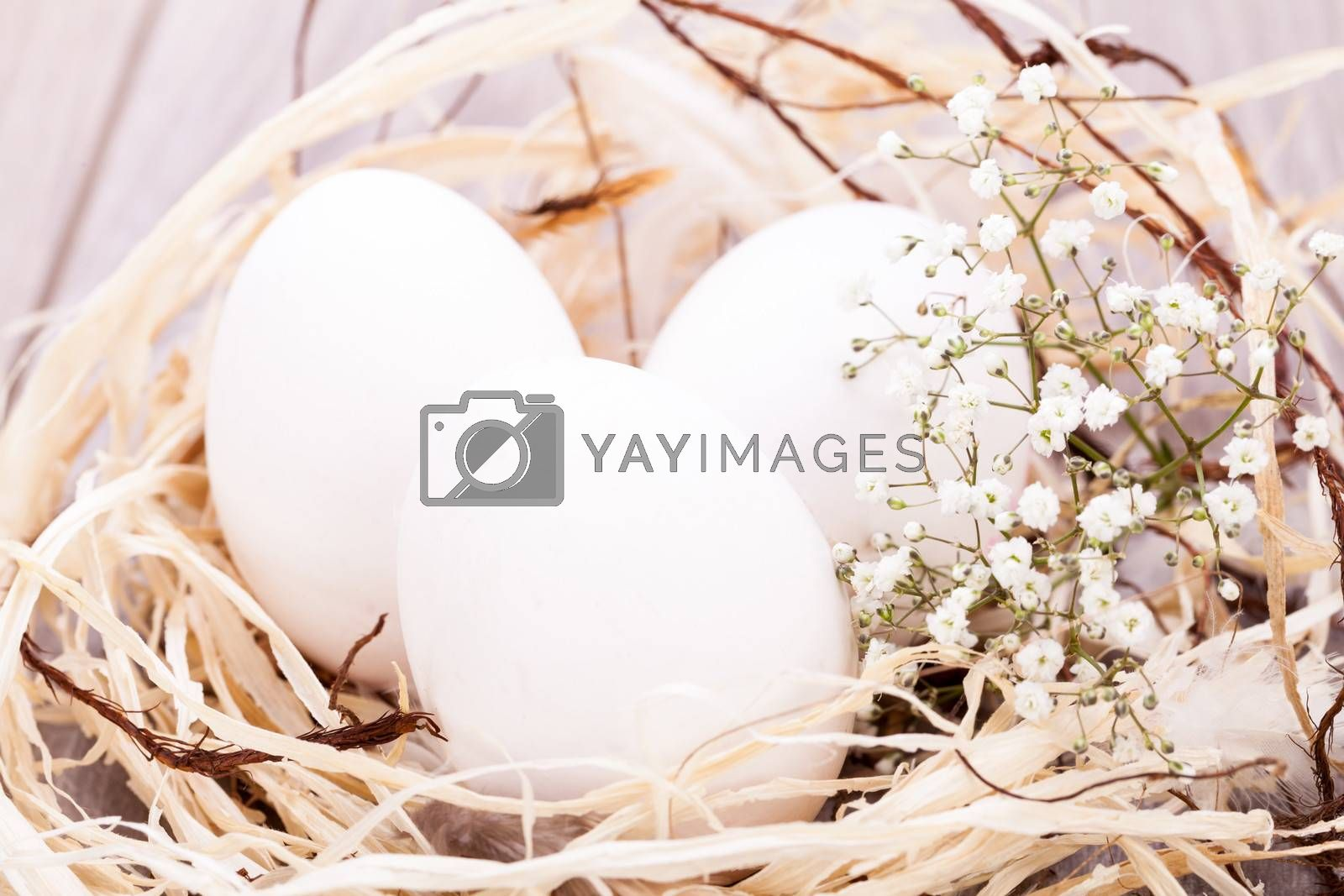Three plain white undecorated Easter eggs nestling in a straw nest with a delicate dainty spray of Babys Breath flowers to celebrate springtime and the Easter holiday