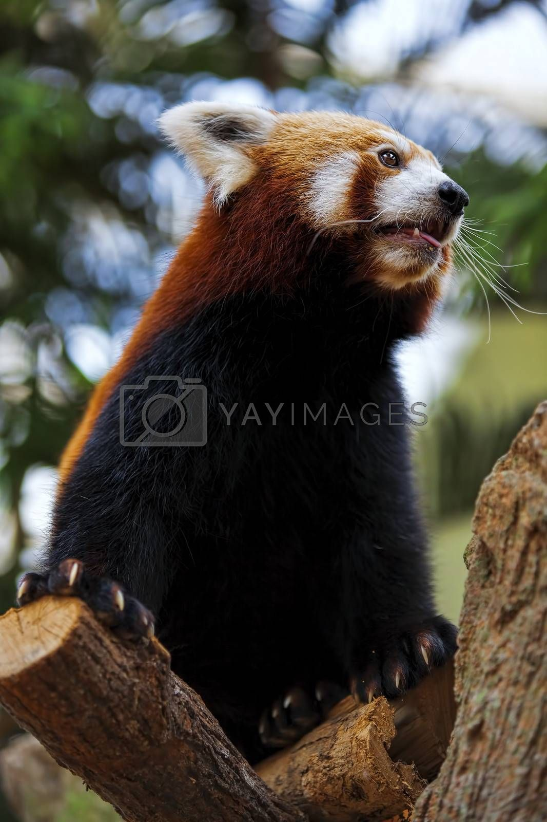Portrait of a Red Panda sitting on a branch
