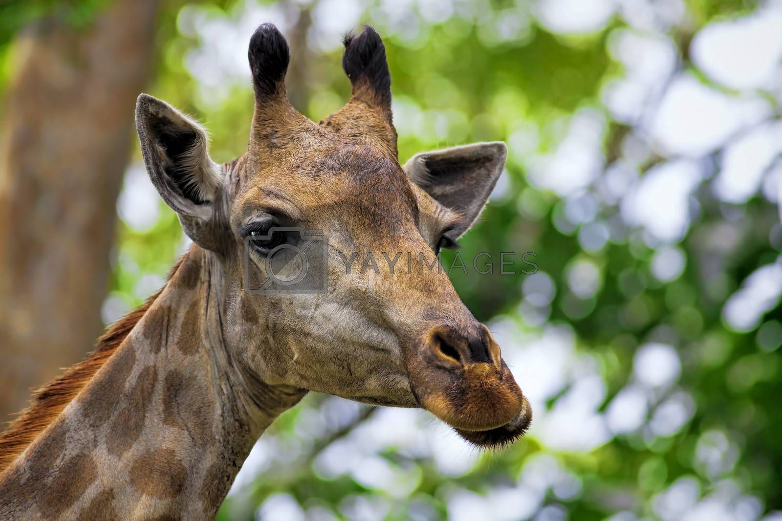 Giraffe head with neck on green background