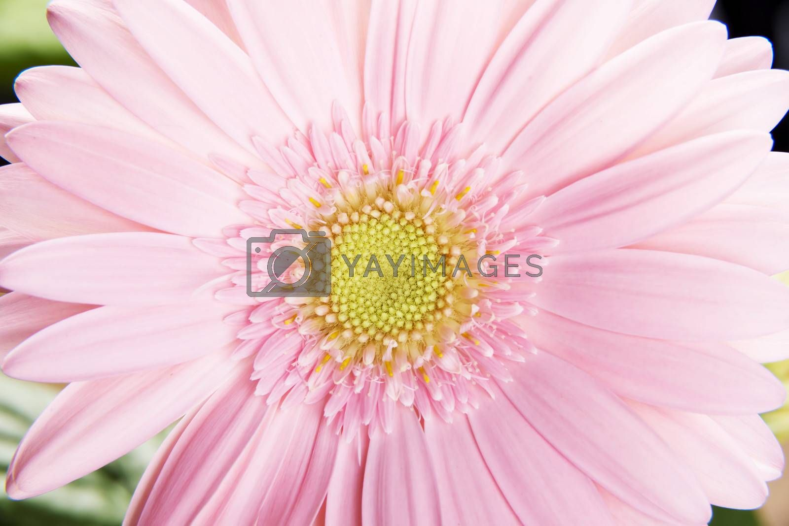 Royalty free image of Close up on fresh pink gerbera flower. by BDS