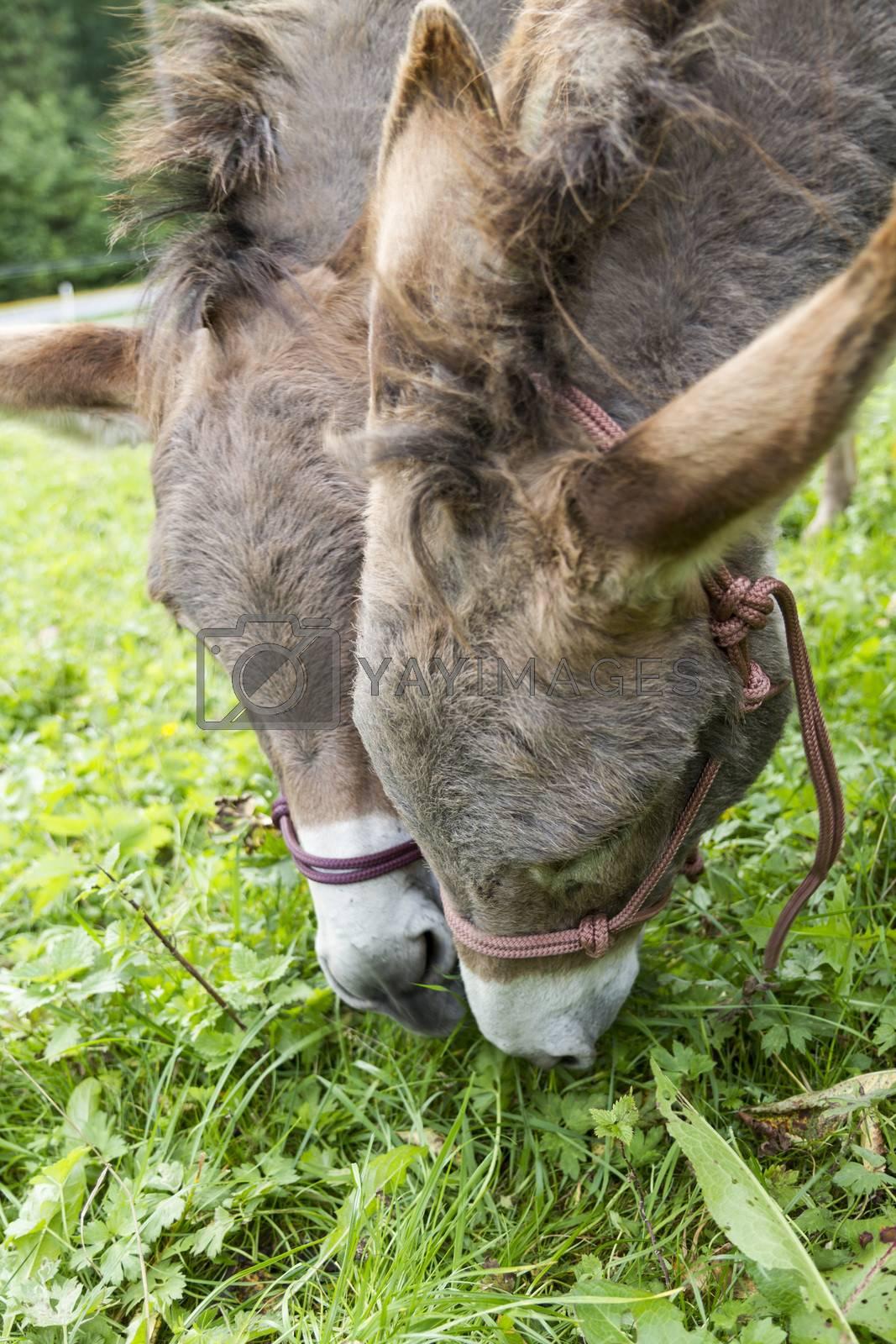 detail shot of brown donkeys eating grass