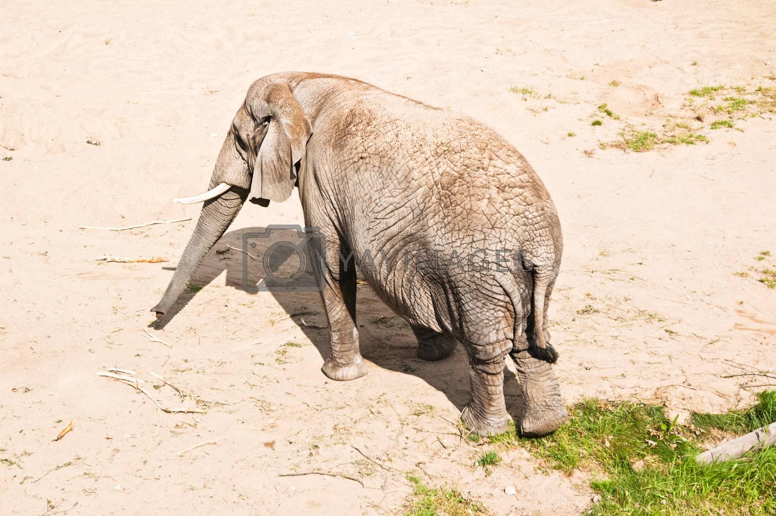 Large African elephant close up