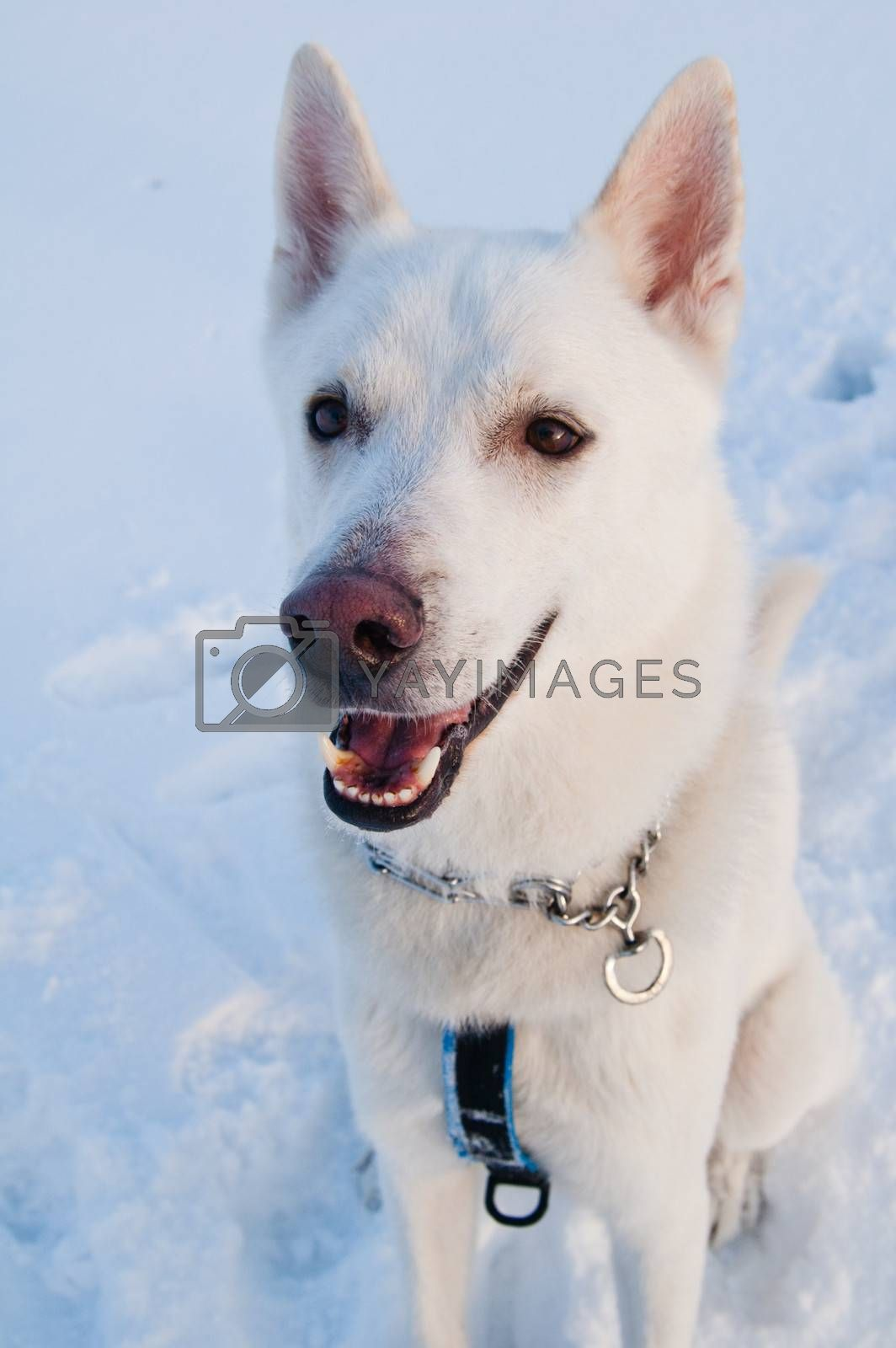 Portrait of a white husky dog in winter in a wood