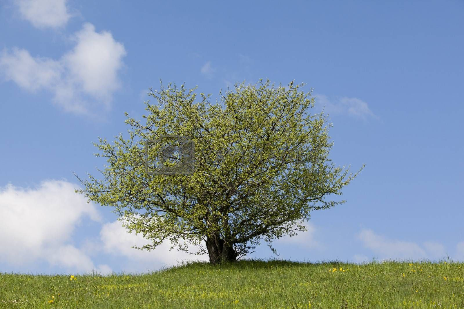 Green field, lonely tree and the blue sky