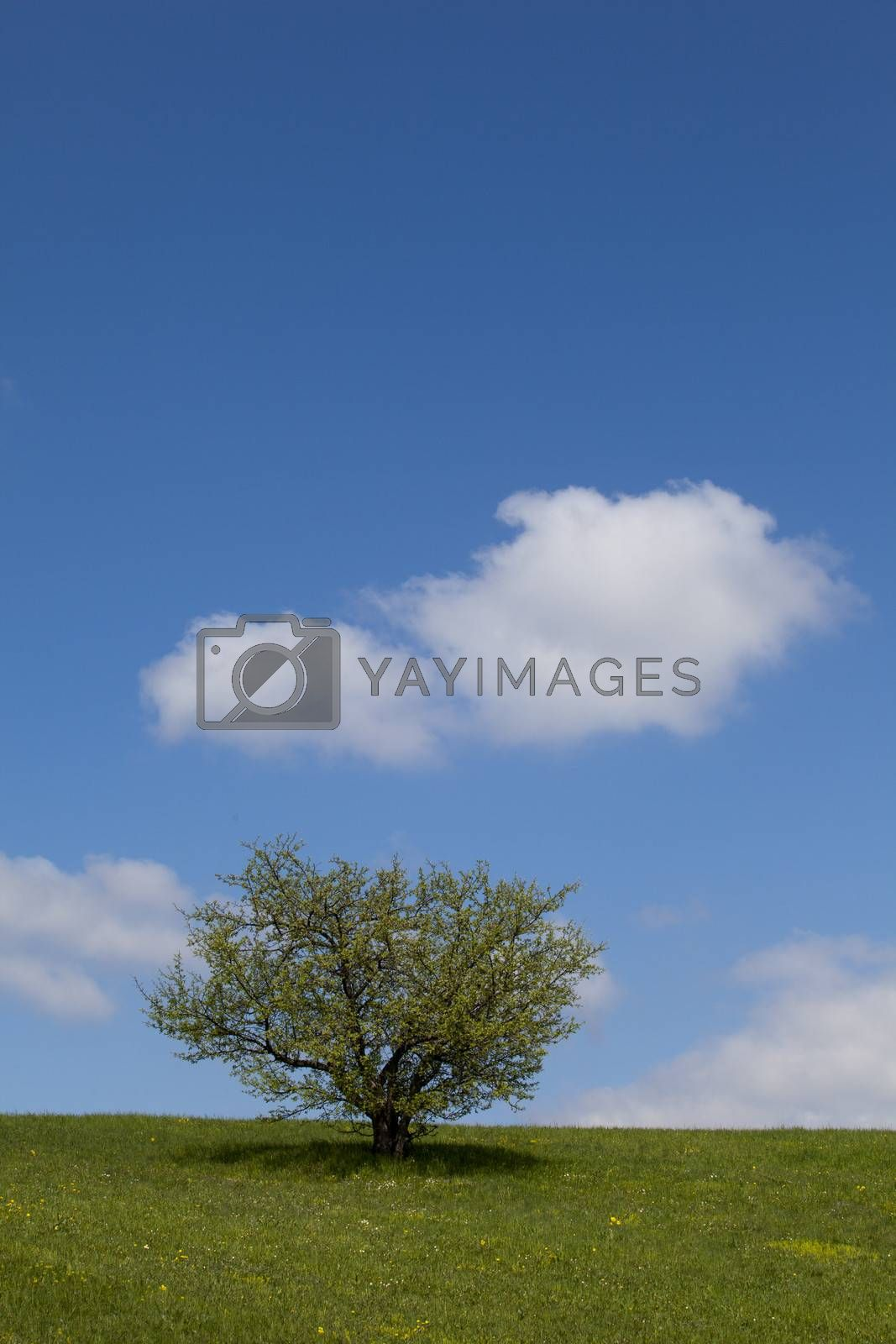 Tree on a green field against a blue sky