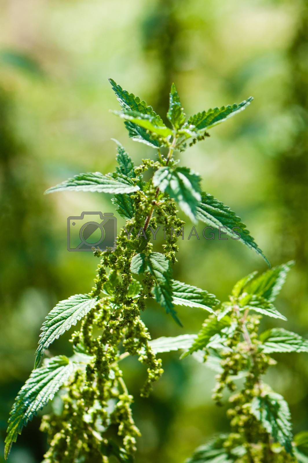 Nettle, close up