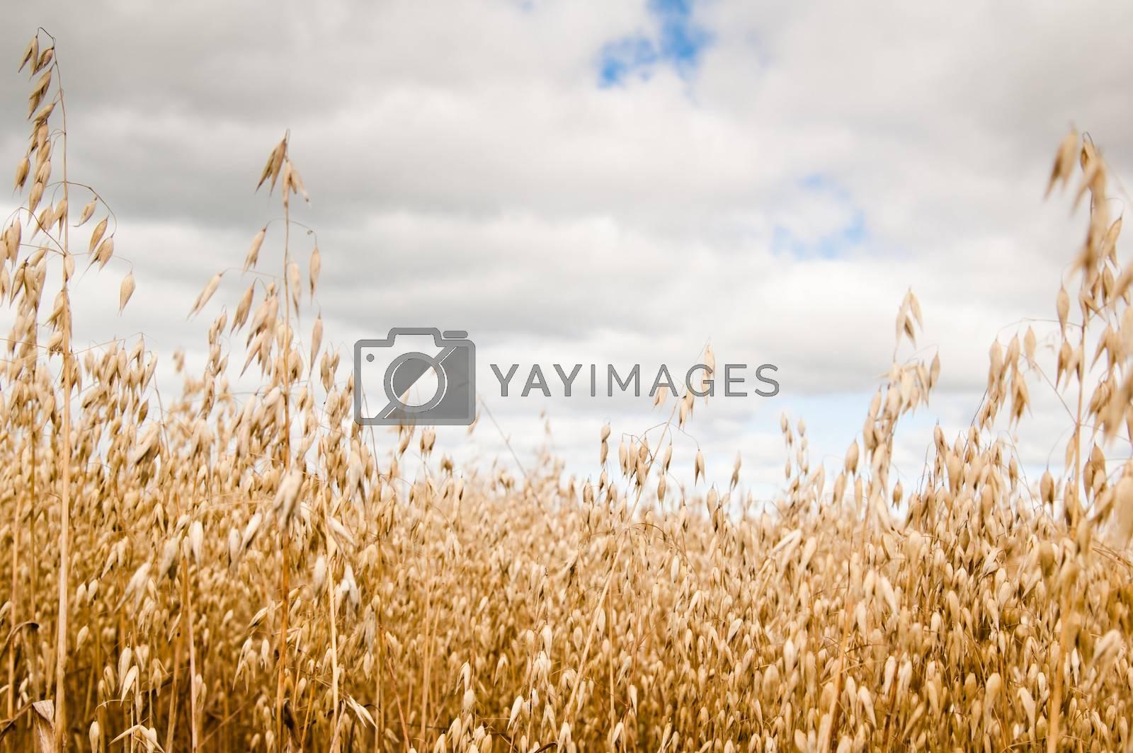 Field of a ripening oats