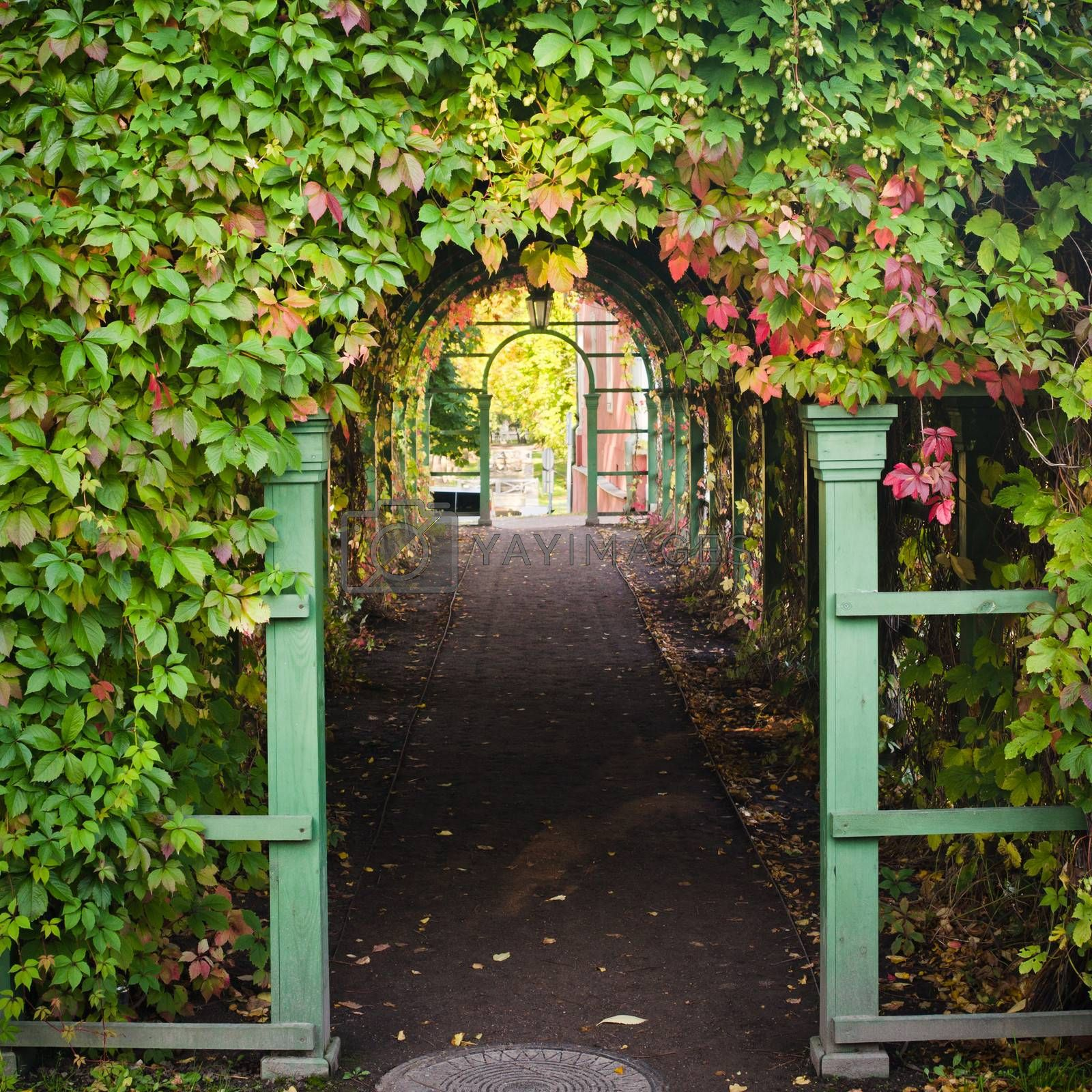 Branches of virginia creeper ramble on archway