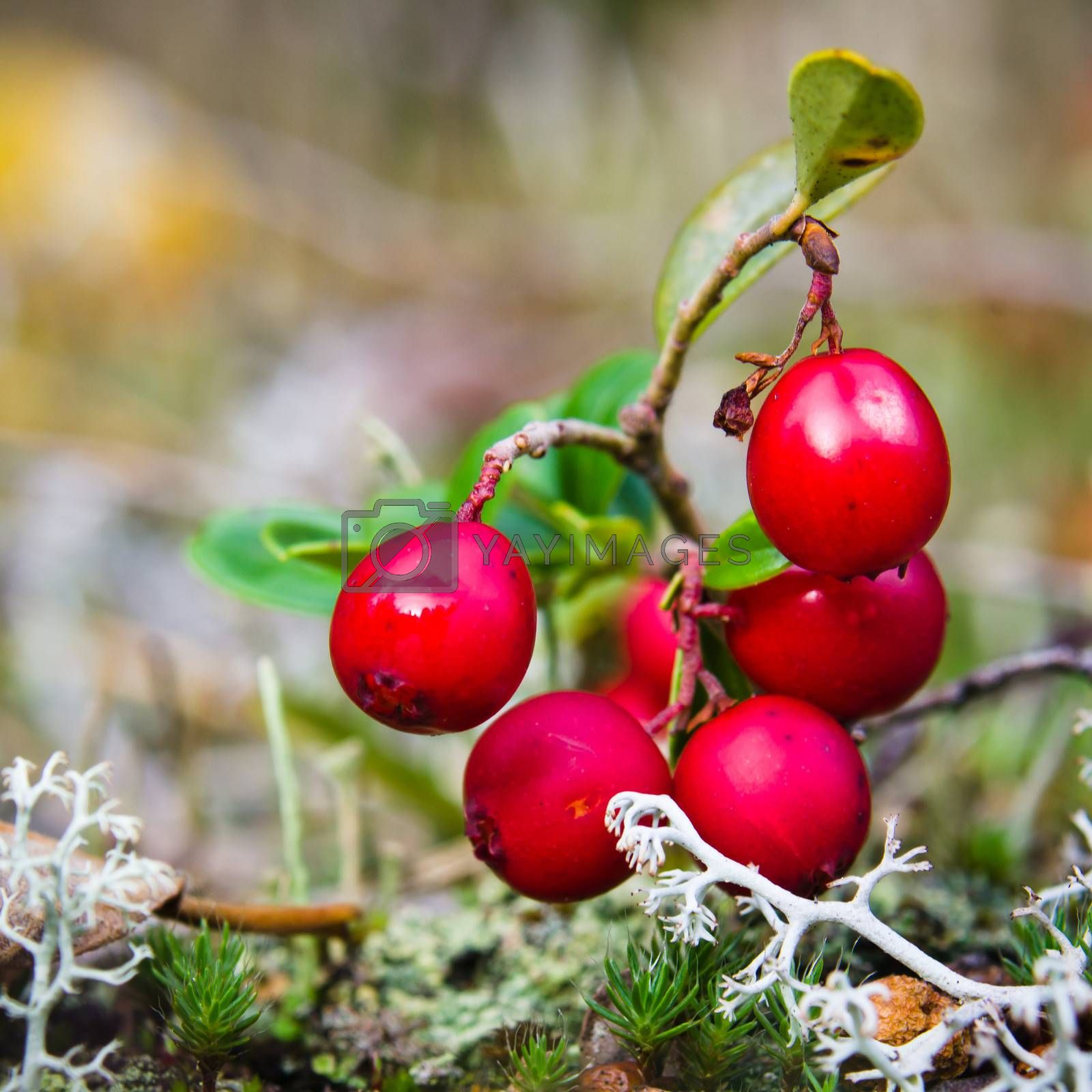 Red berries of a cowberry on bushes, a close up