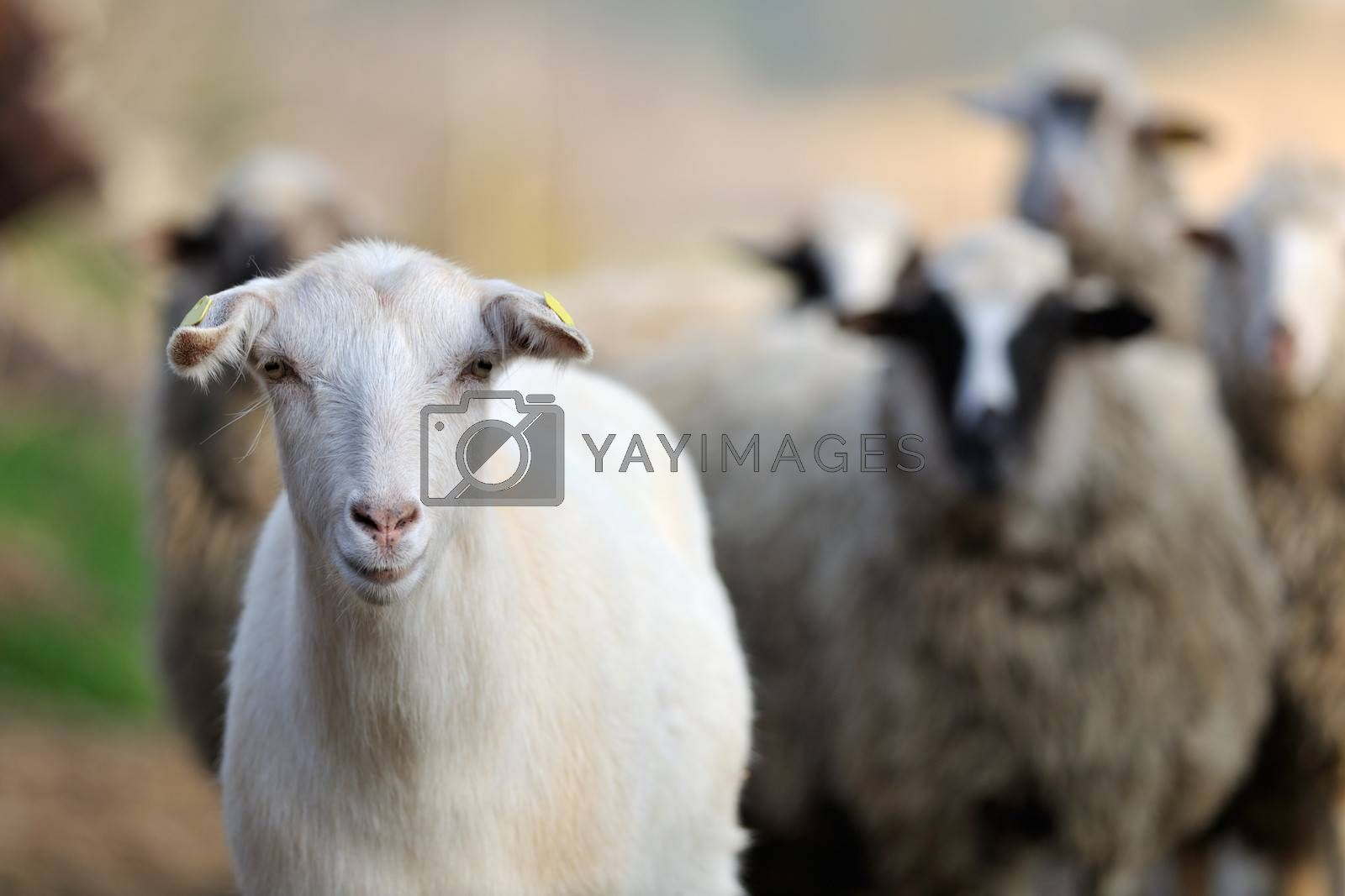 Goat and sheep flock of domestic animals