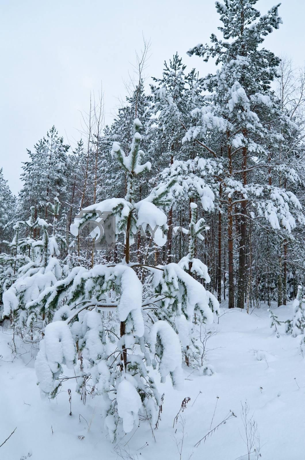 Winter landscape in the forest snowbound