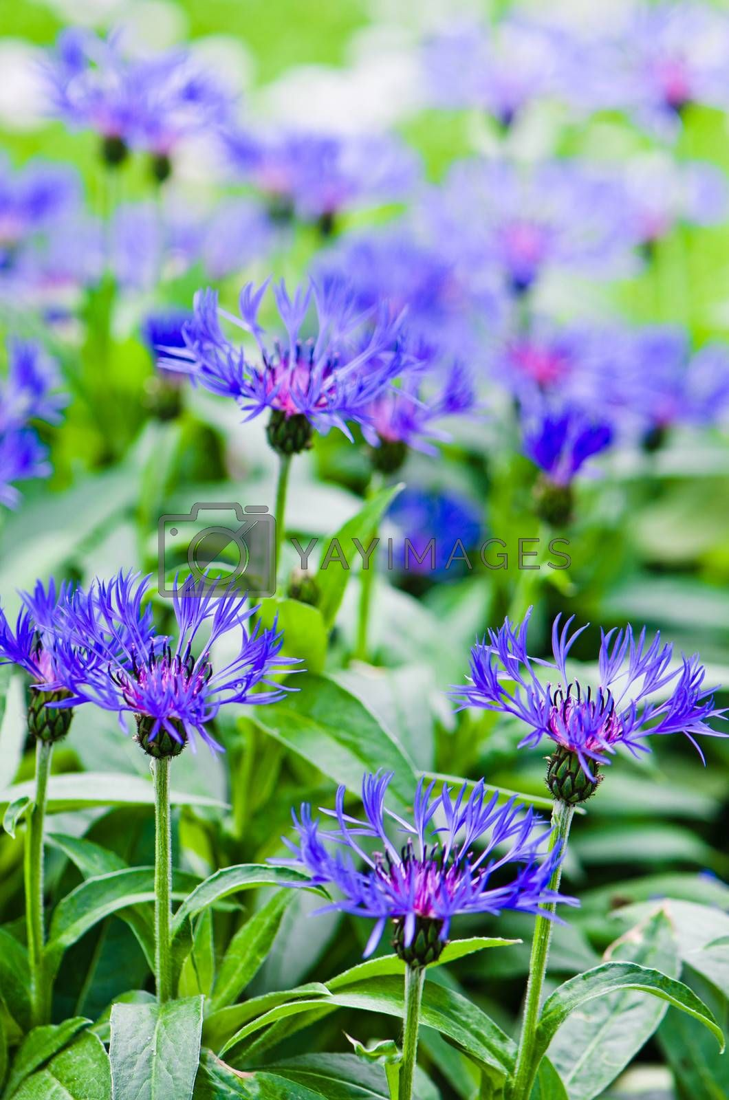 Beautiful cornflowers in the meadow, close-up by breeze09