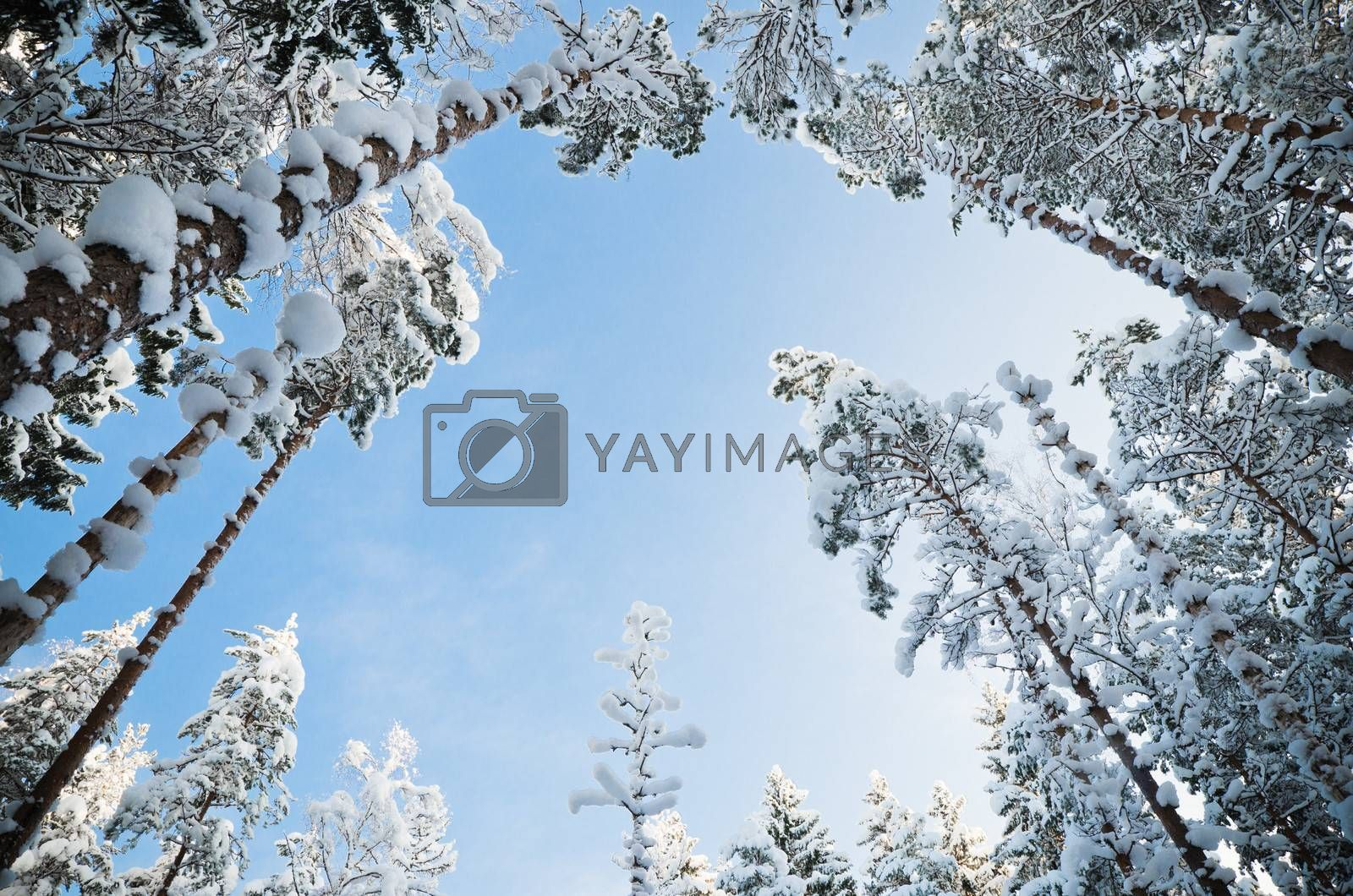 Bottom view of the snow covered trees on blue sky background