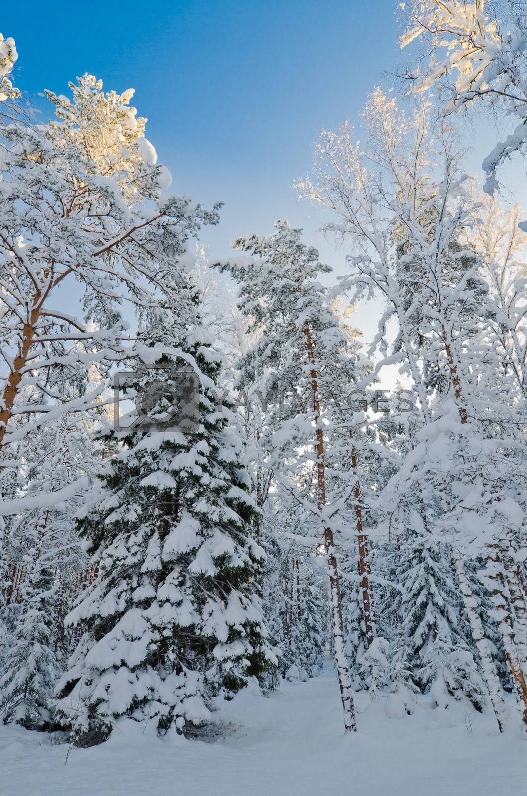 Winter snow covered trees against the blue sky. Viitna, Estonia.