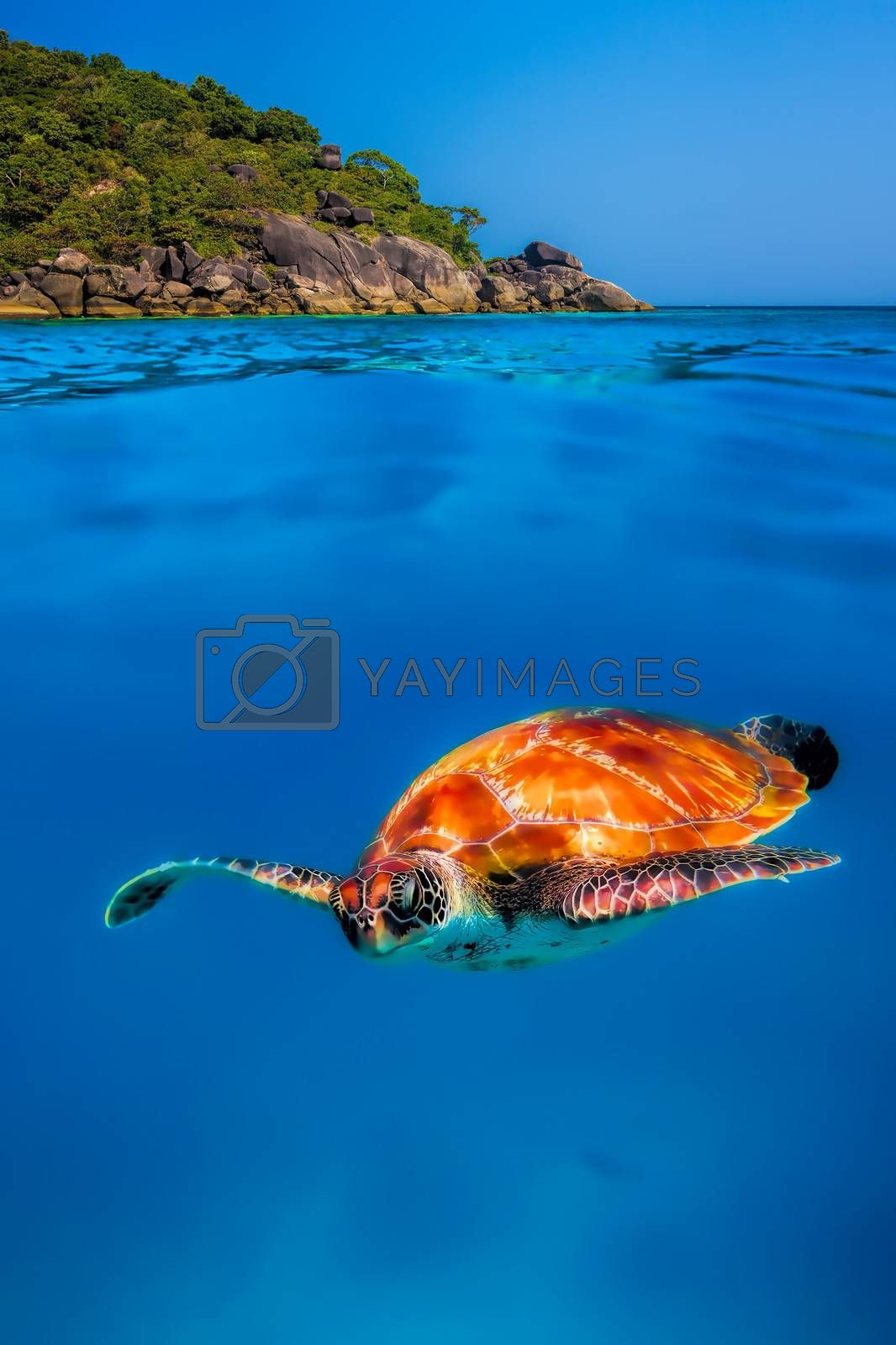 Hawksbill Turtle above and below at Similan Islands