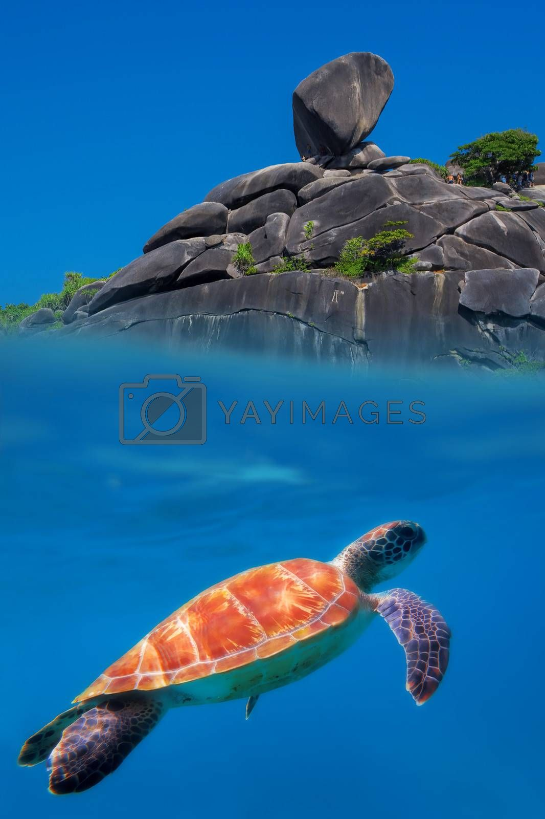 Green Turtle above and below at Similan Islands
