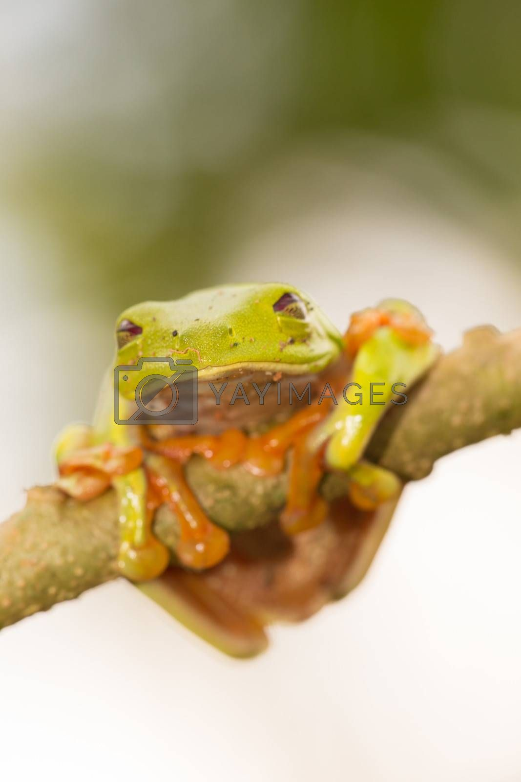 A macro shot of a Red-Eyed Tree Frog (Agalychnis callidryas) sitting along a tree branch