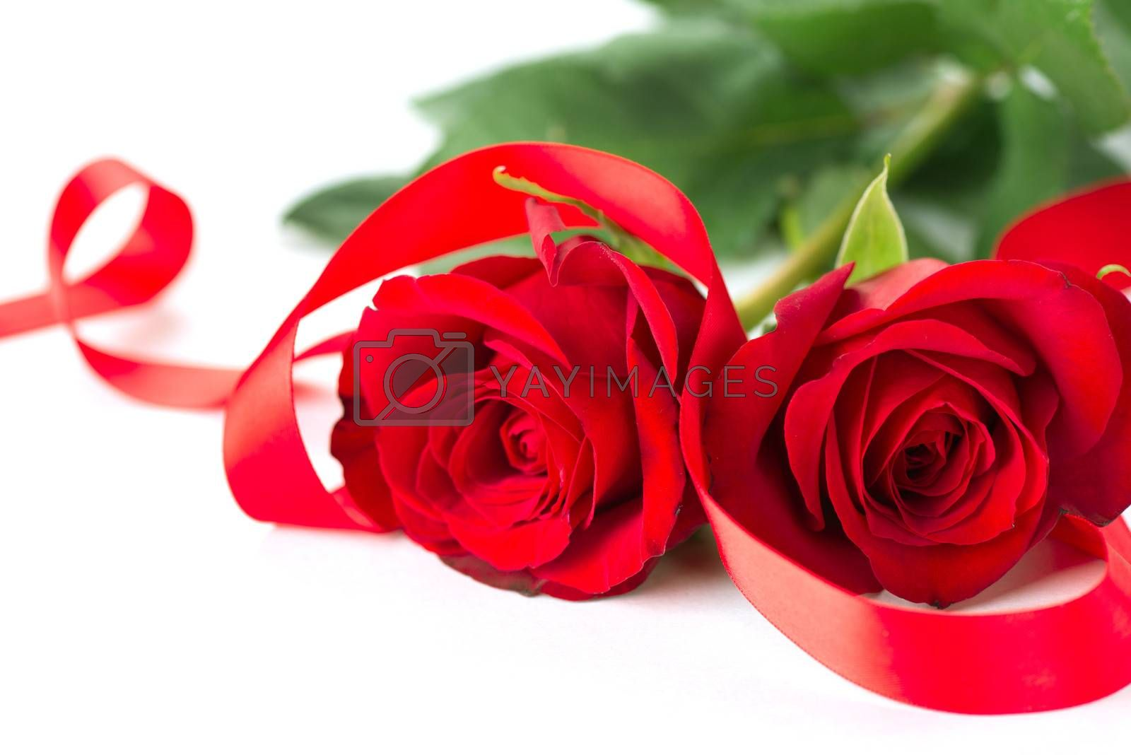 Valentines Rose Flower with Ribbon isolated on white Background