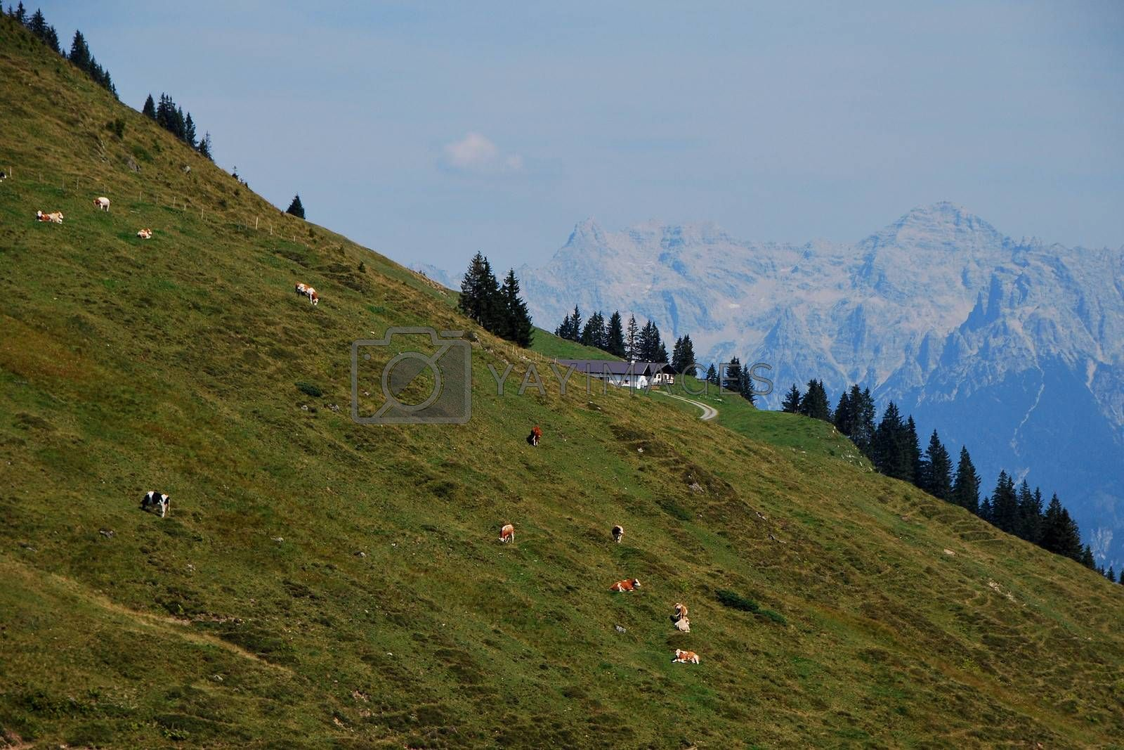 many cows on an alpine pasture in the mountains