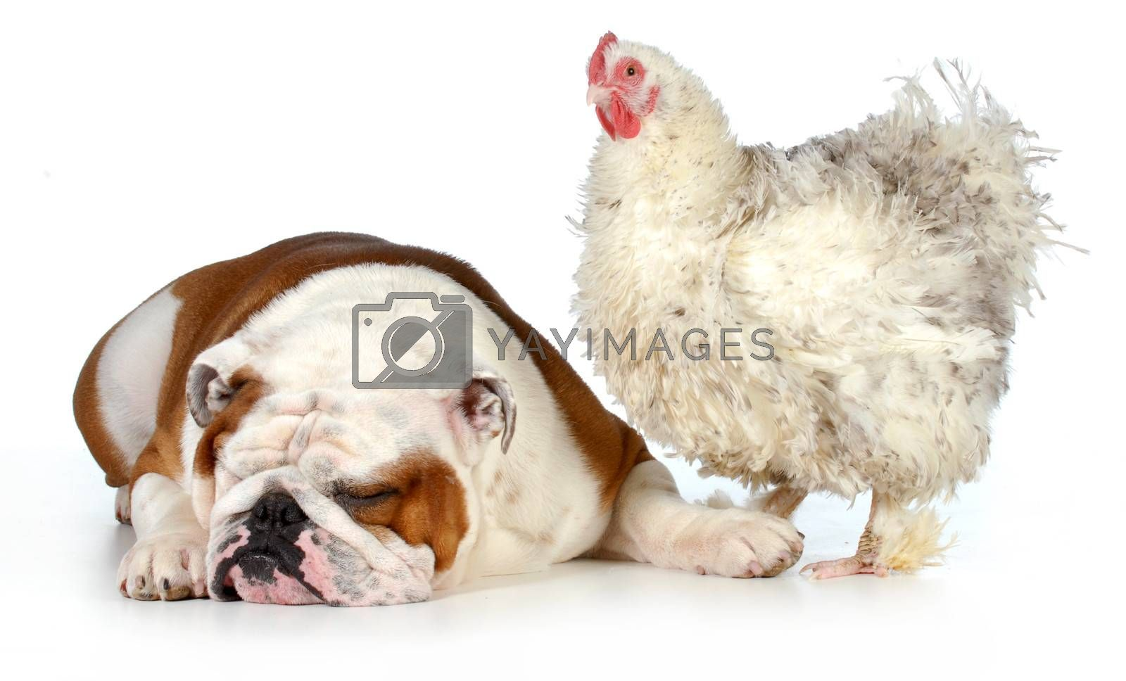 two animals - farm chicken and english bulldog together isolated on white background