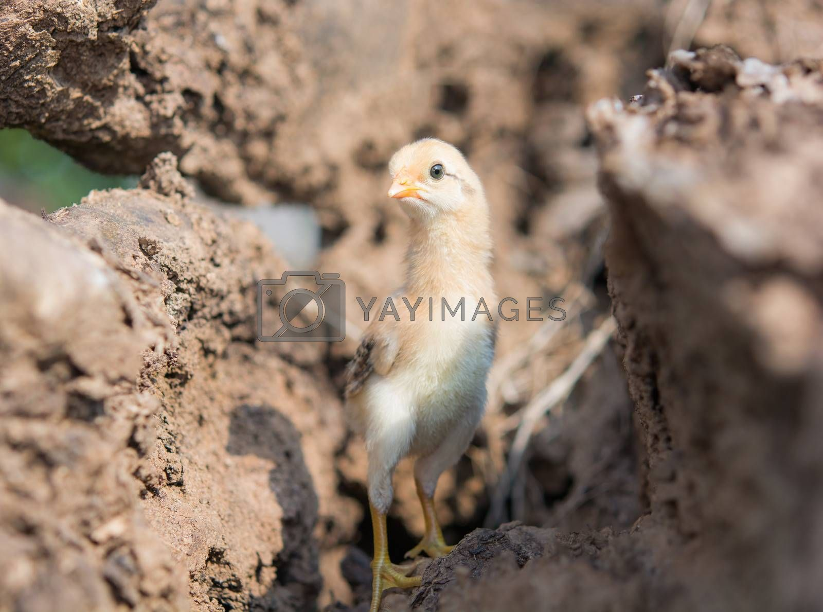 Single cute chick in timber on sunlight