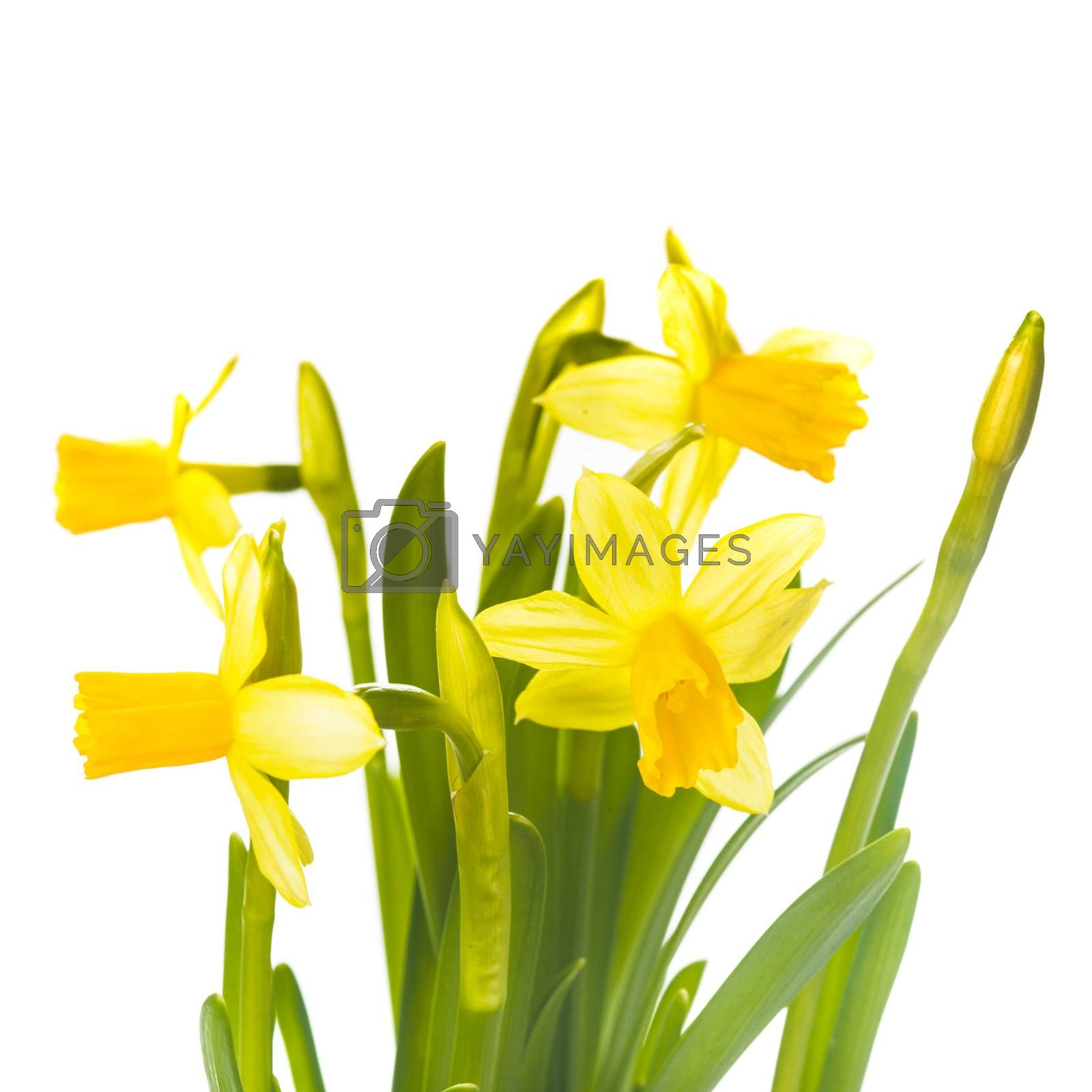 First spring flowers - yellow daffodil isolated on white