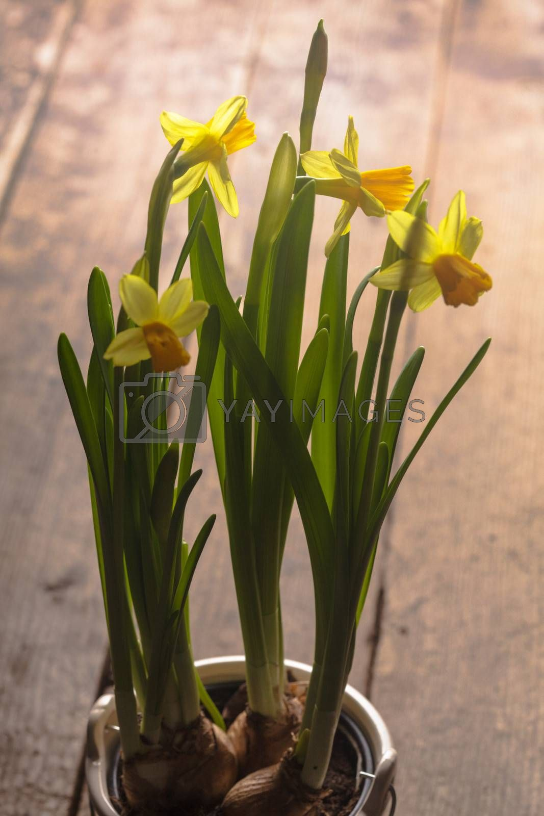 First spring flowers - yellow daffodil on the table