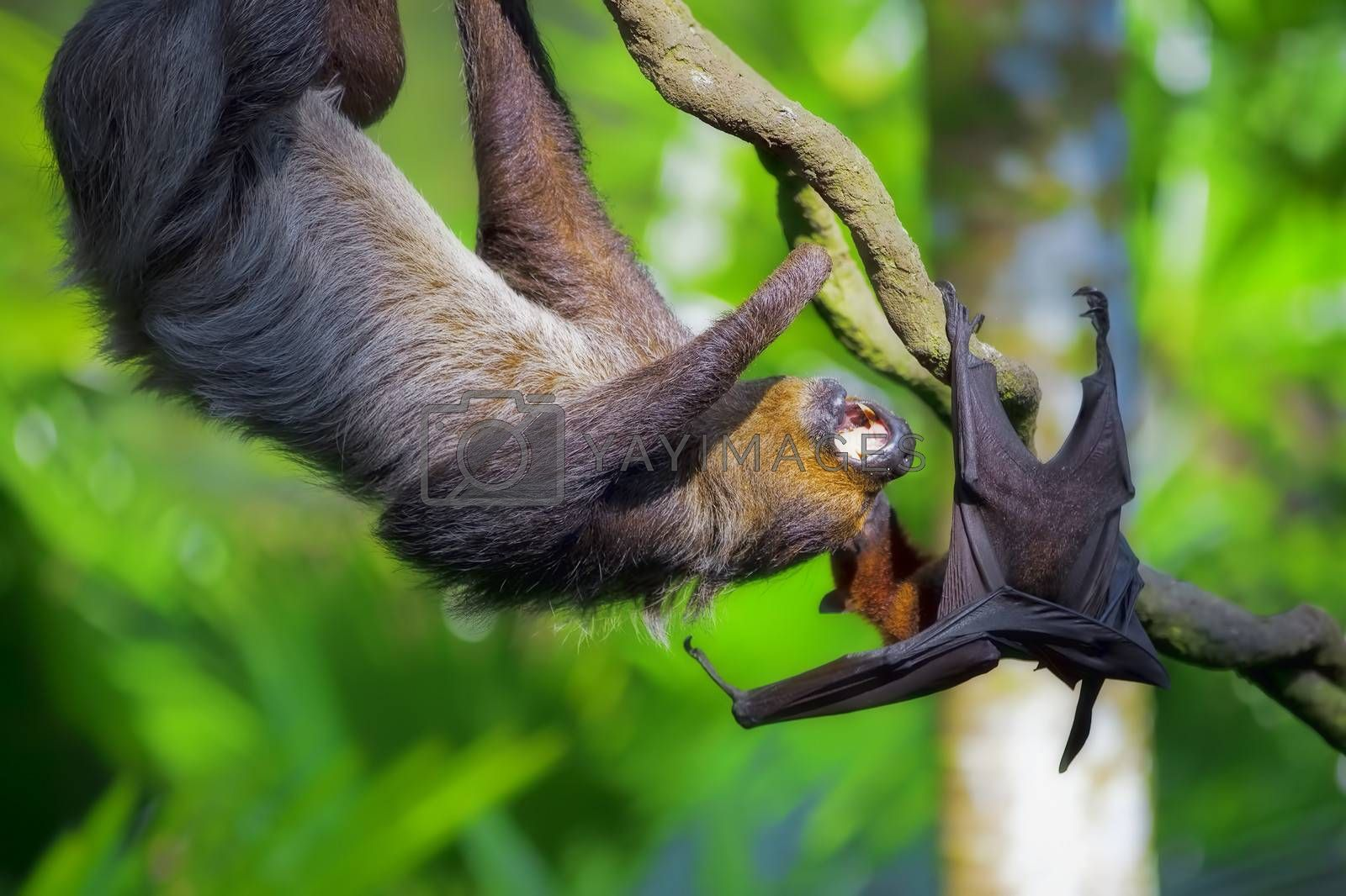 A Two-toed Sloth and flying fox in Manuel Antonio national park