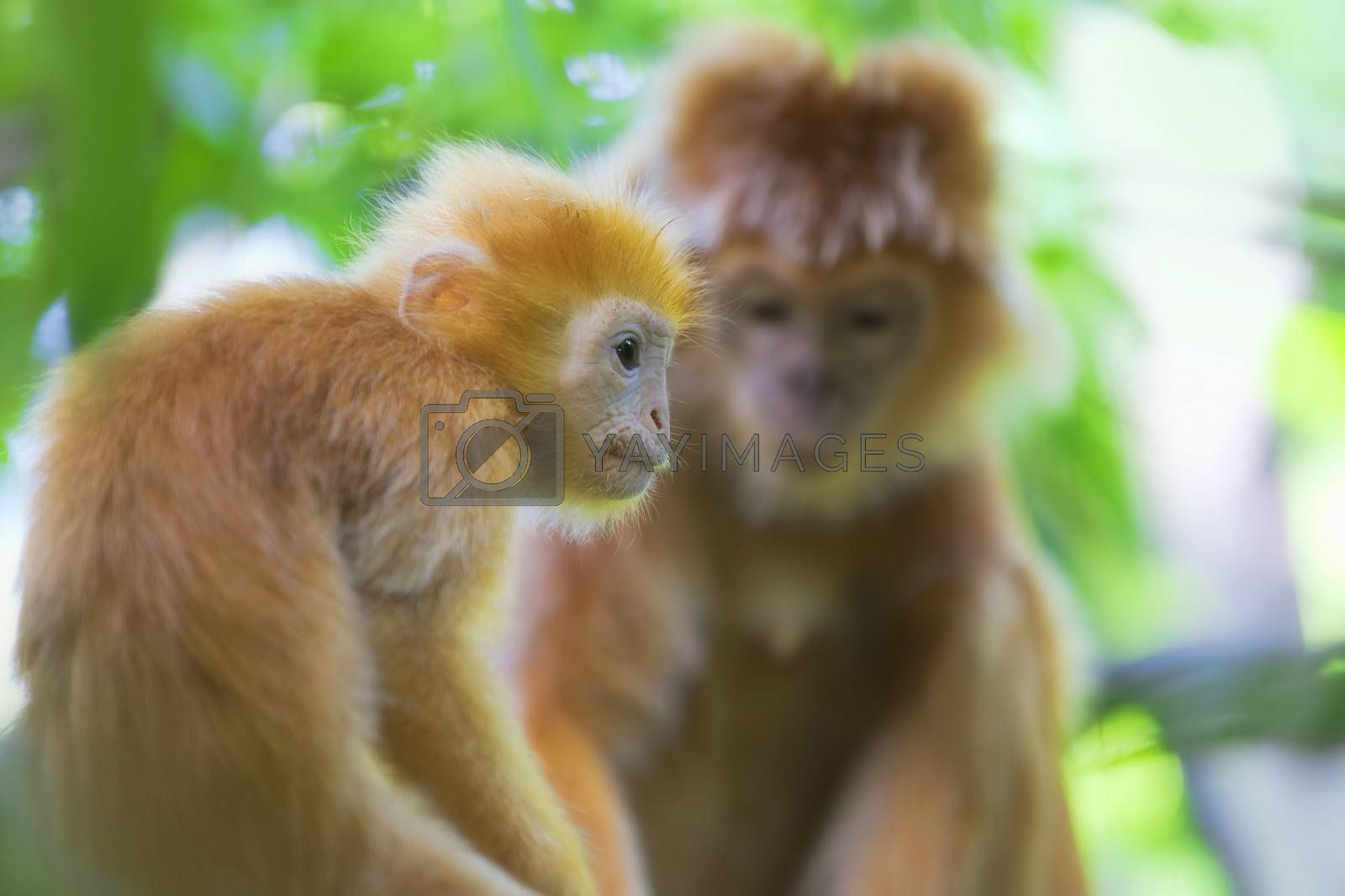 Maroone Leaf Monkeys in the wild of Borneo